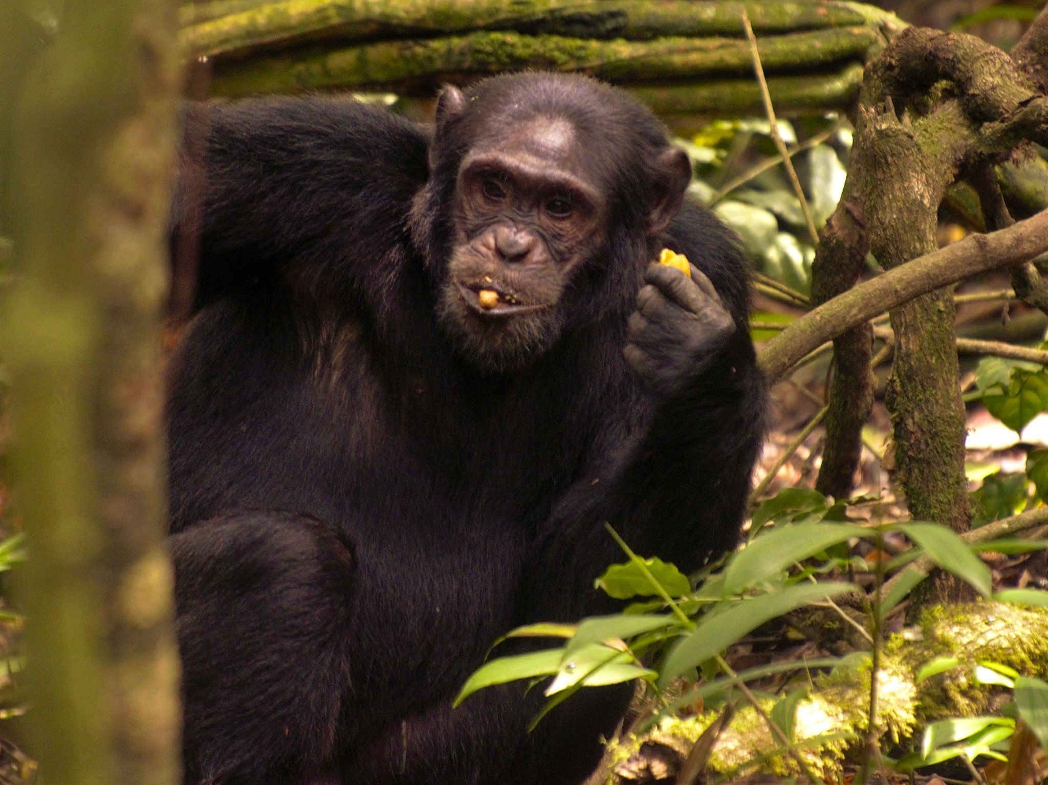 Uganda:  Kibale National park's  most famous inhabitants are chimpanzees. These particular... [Photo of the day - September 2018]