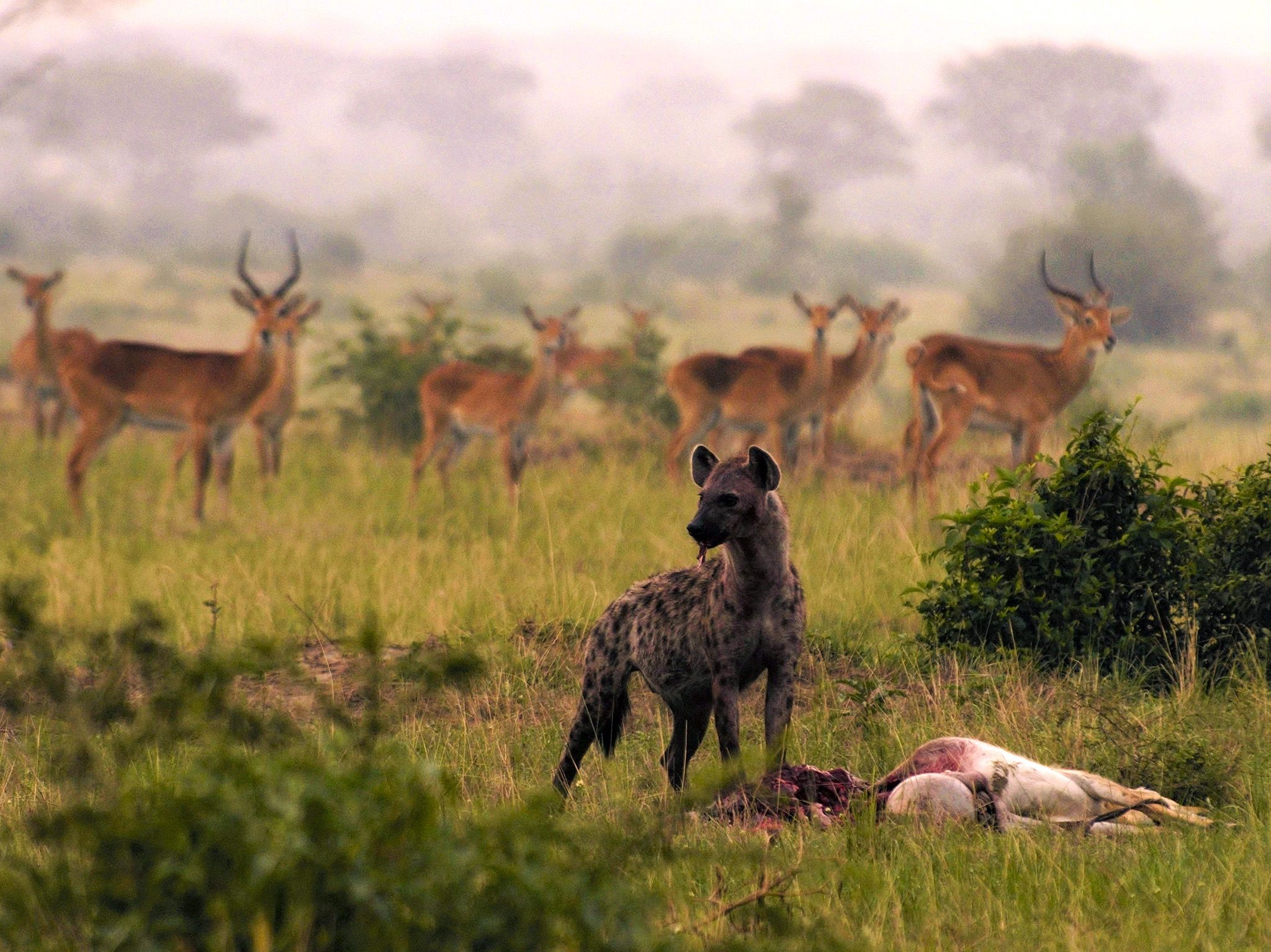 Uganda:  Hyenas hunt at night, a kob fell victim. This image is from Wild Uganda. [Photo of the day - September 2018]
