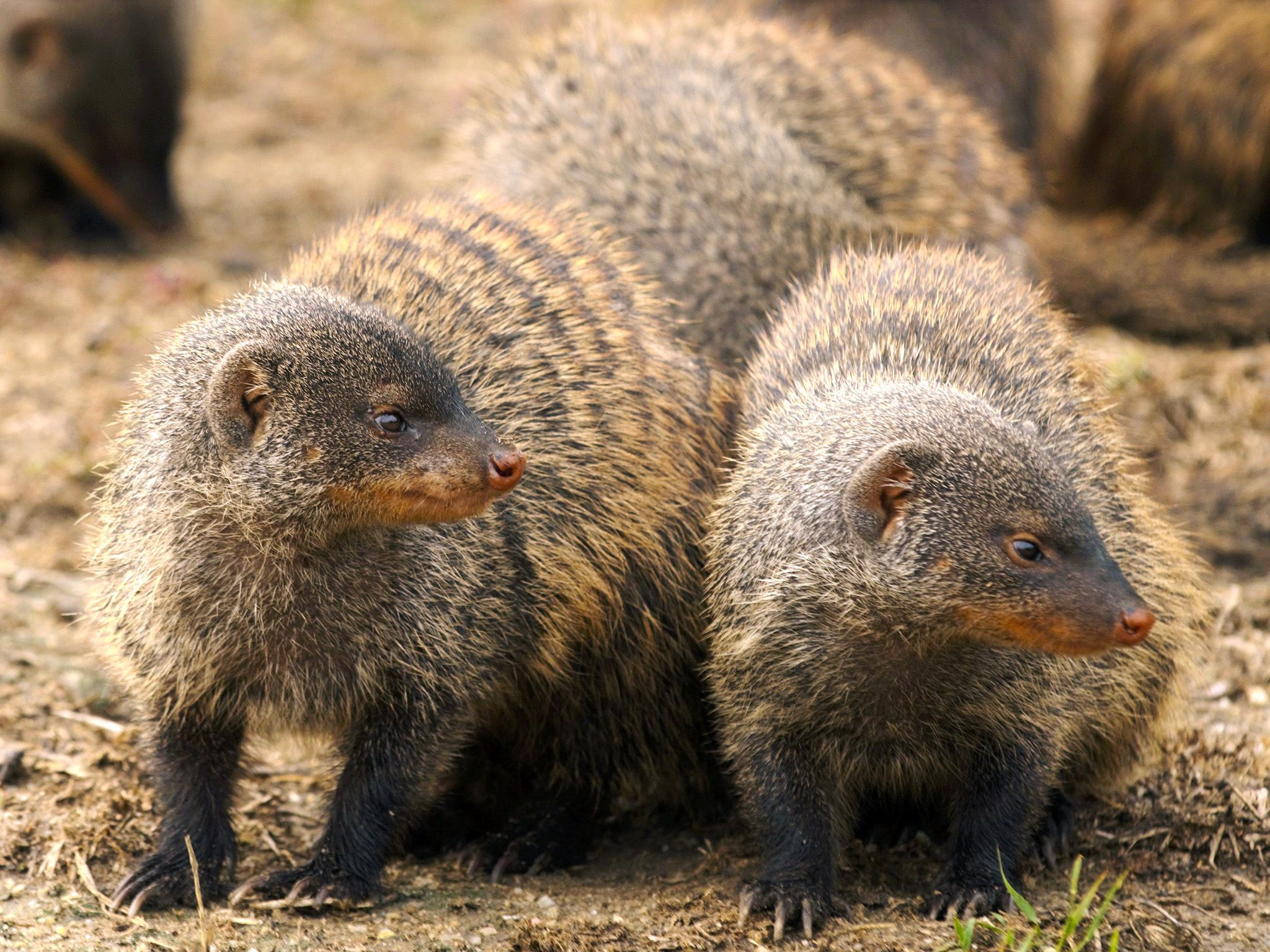 Uganda:  Like elephants, banded mongooses are social animals and live in family groups. This... [Photo of the day - September 2018]