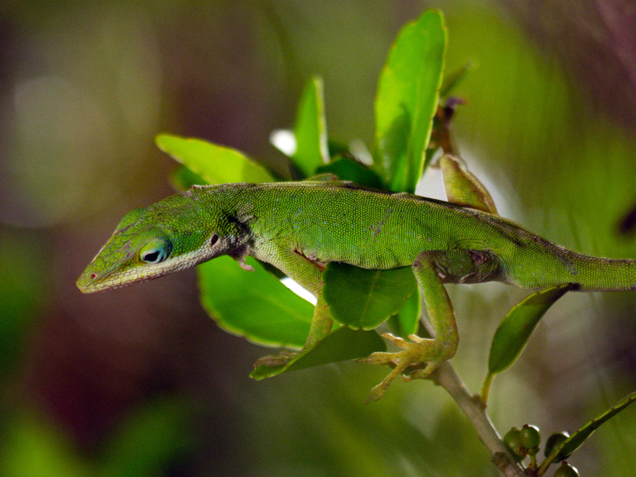 Sabine River Watershed, TX:  Anole on twig.  This image is from America The Beautiful: Wild... [Photo of the day - September 2018]