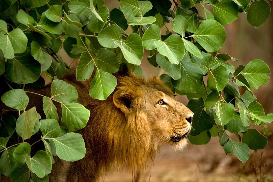 Gir National Park, Gujarat, India: An adult male Asiatic Lion stands under green foliage.  This... [Photo of the day - أبريل 2012]