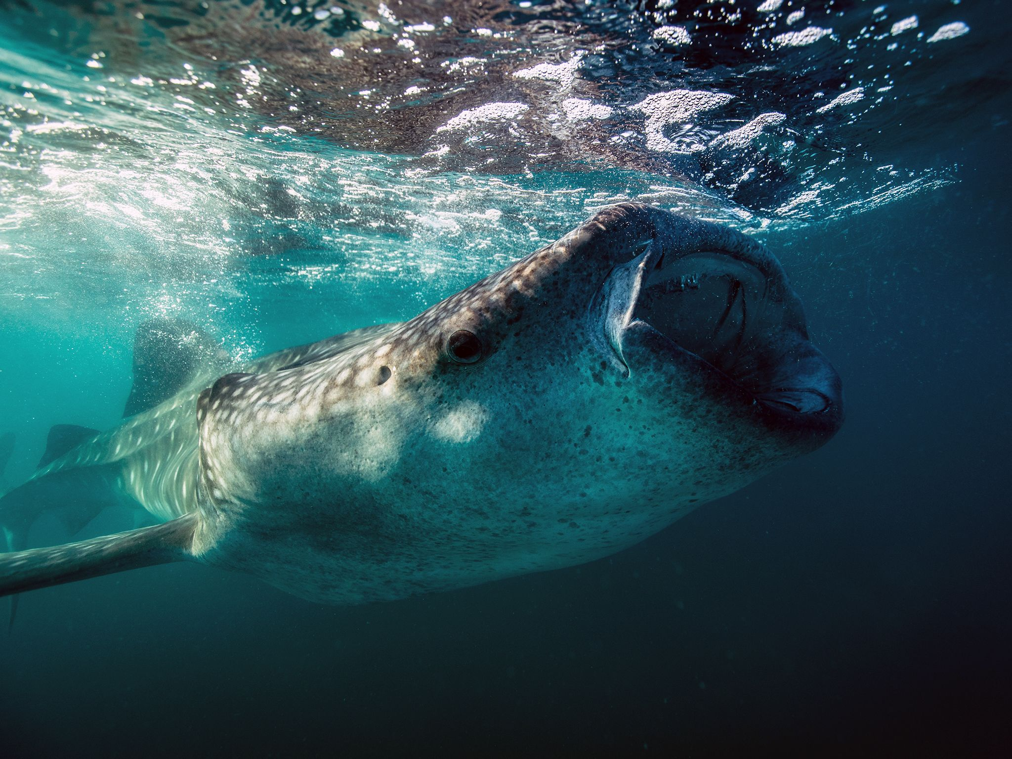 Sea Of Cortez, Mexico:  A juvenile Whale shark gorges on plankton at the surface during a... [Photo of the day - November 2018]