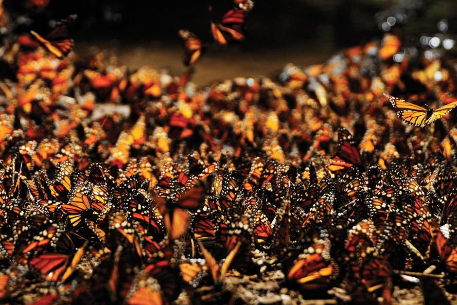 Michoacan, Mexico: No single monarch butterfly completes its migration from Mexico to as far... [Photo of the day - أبريل 2012]