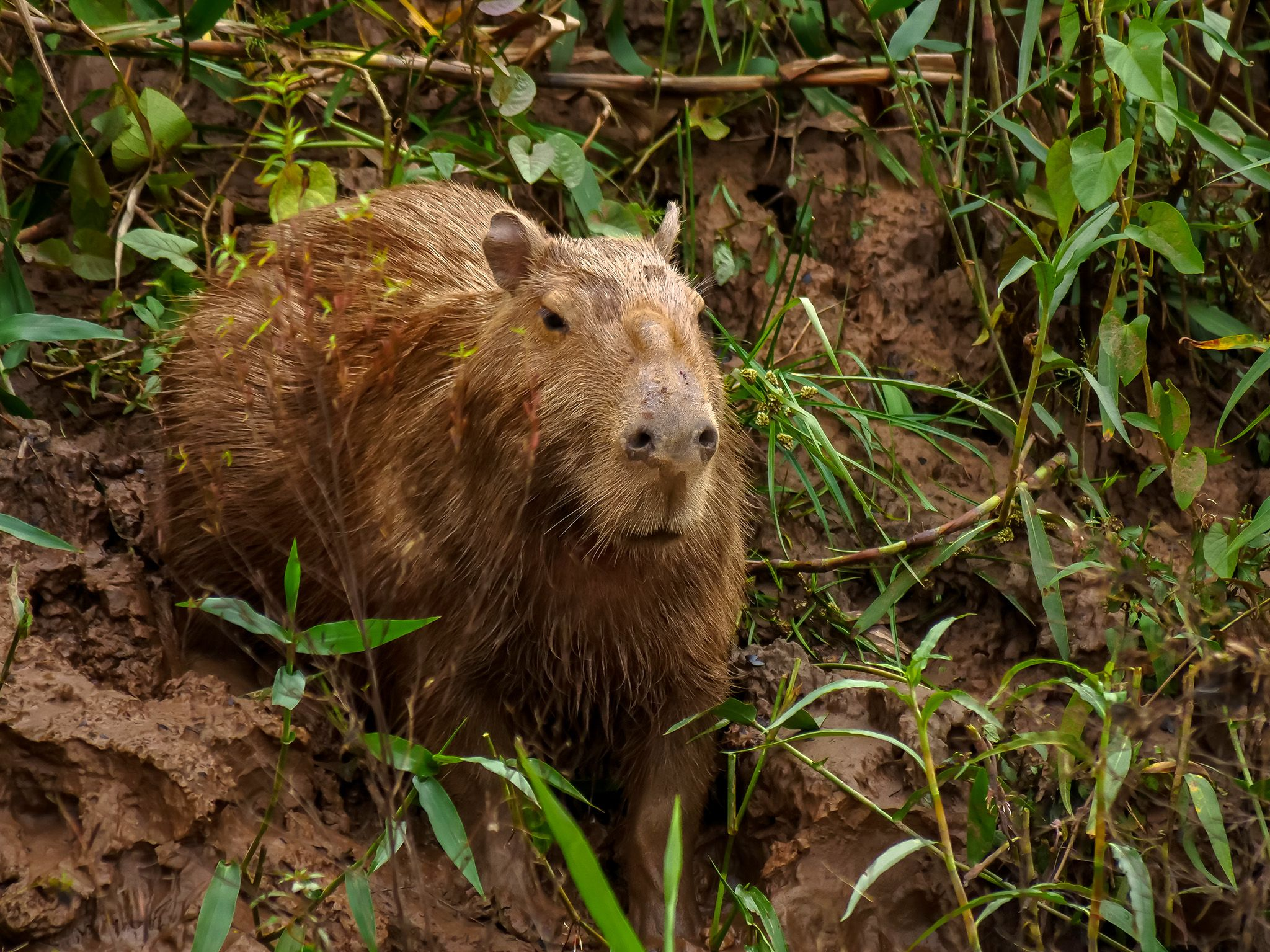 Tambopata, Madre De Dios, Peru:   Capybara on a river bank. This image is from Wild Peru: Andes... [Foto del giorno - novembre 2018]