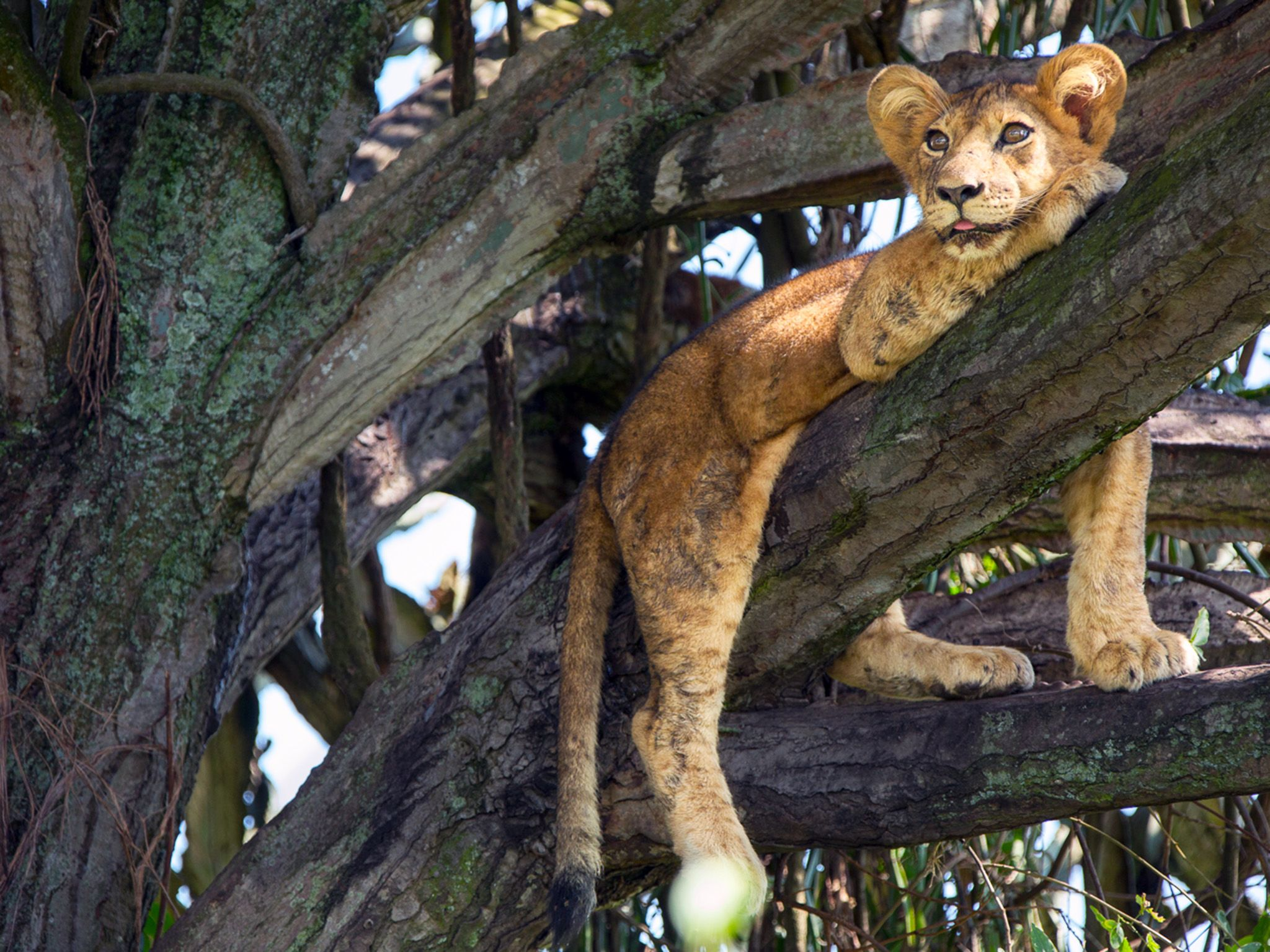 Queen Elizabeth National Park, Uganda:  One lion cub lounging in tree with tongue partially... [Photo of the day - November 2018]