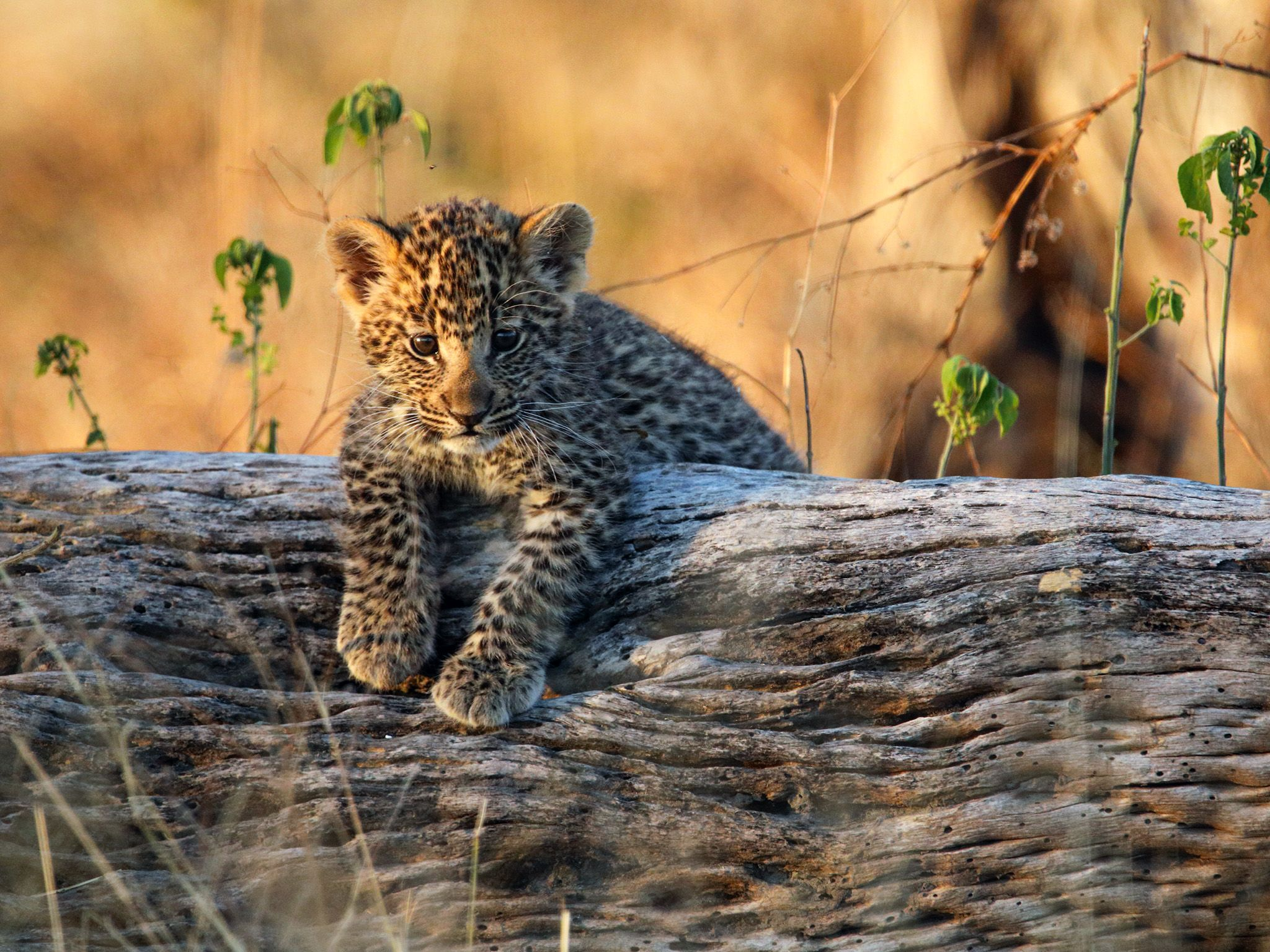 Botswana:  A young Leopard cub lies spread out on its den site; a fallen hollow tree. This image... [Photo of the day - November 2018]