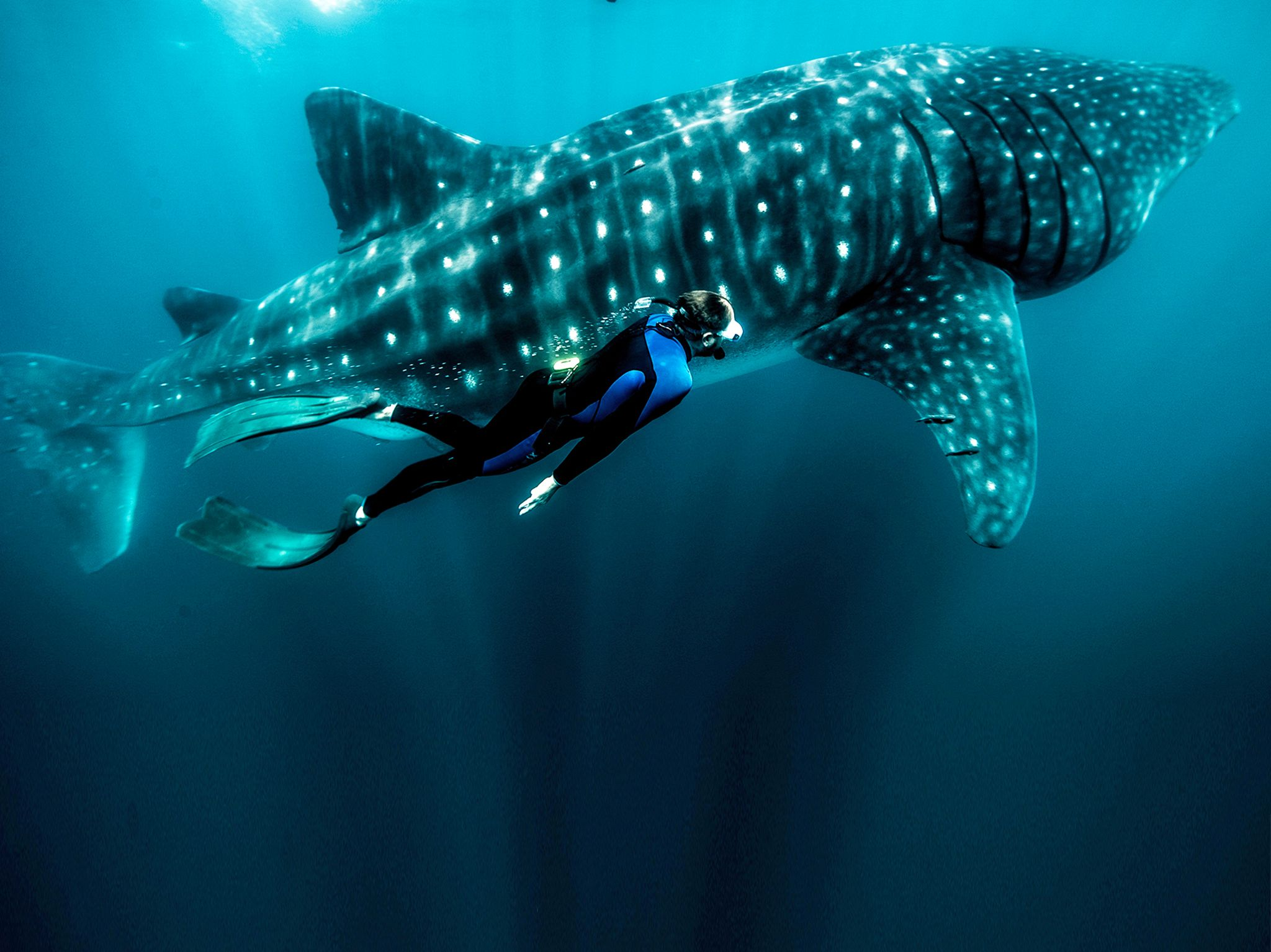 Sea Of Cortez, Mexico:  Zeb Hogan free dives alongside an enormous 30ft Whale shark. This image... [Photo of the day - November 2018]