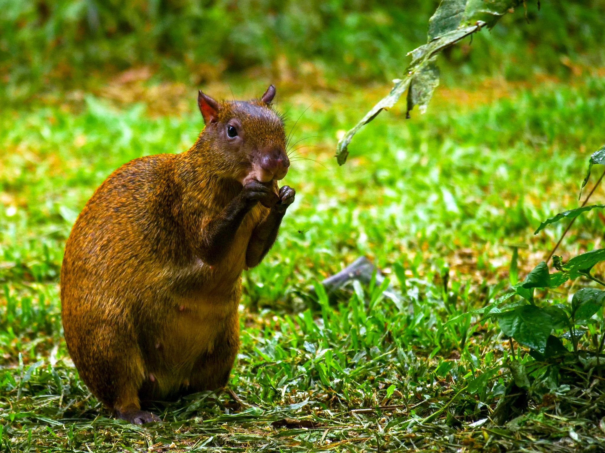 Tambopata, Madre De Dios, Peru:  Agouti feeding on nuts. This image is from Wild Peru: Andes... [Foto del giorno - November 2018]