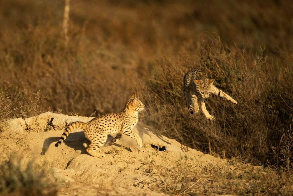Two Desert Cats playfully fight with one another while one of them flies through the air over a... [Photo of the day - أبريل 2012]