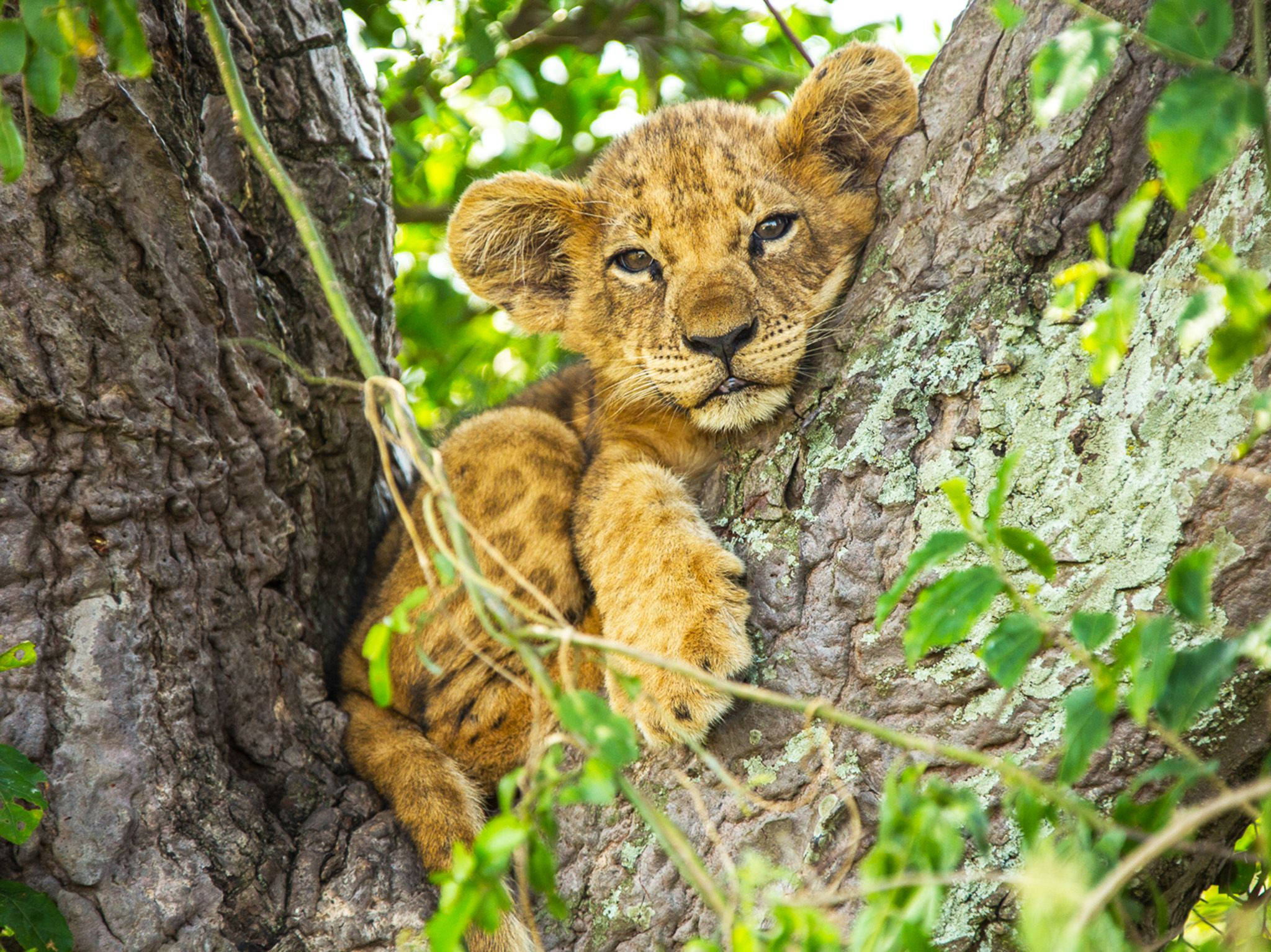 Queen Elizabeth National Park, Uganda:  A young lion cub nestled in fork of tree. This image is... [Foto del giorno - novembre 2018]