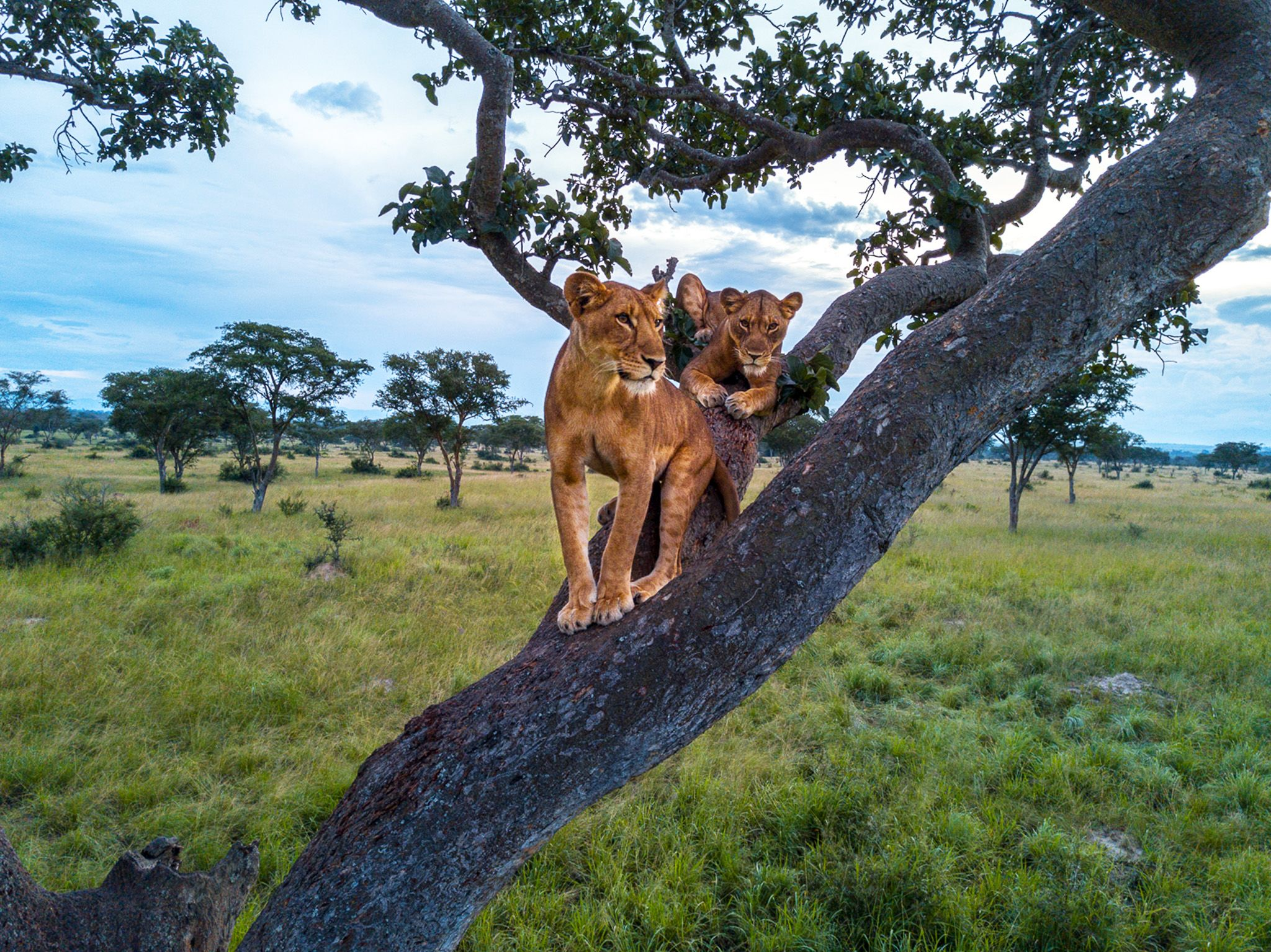 Queen Elizabeth National Park, Uganda:  Two adult lionesses in a fig tree. This image is from... [Photo of the day - November 2018]