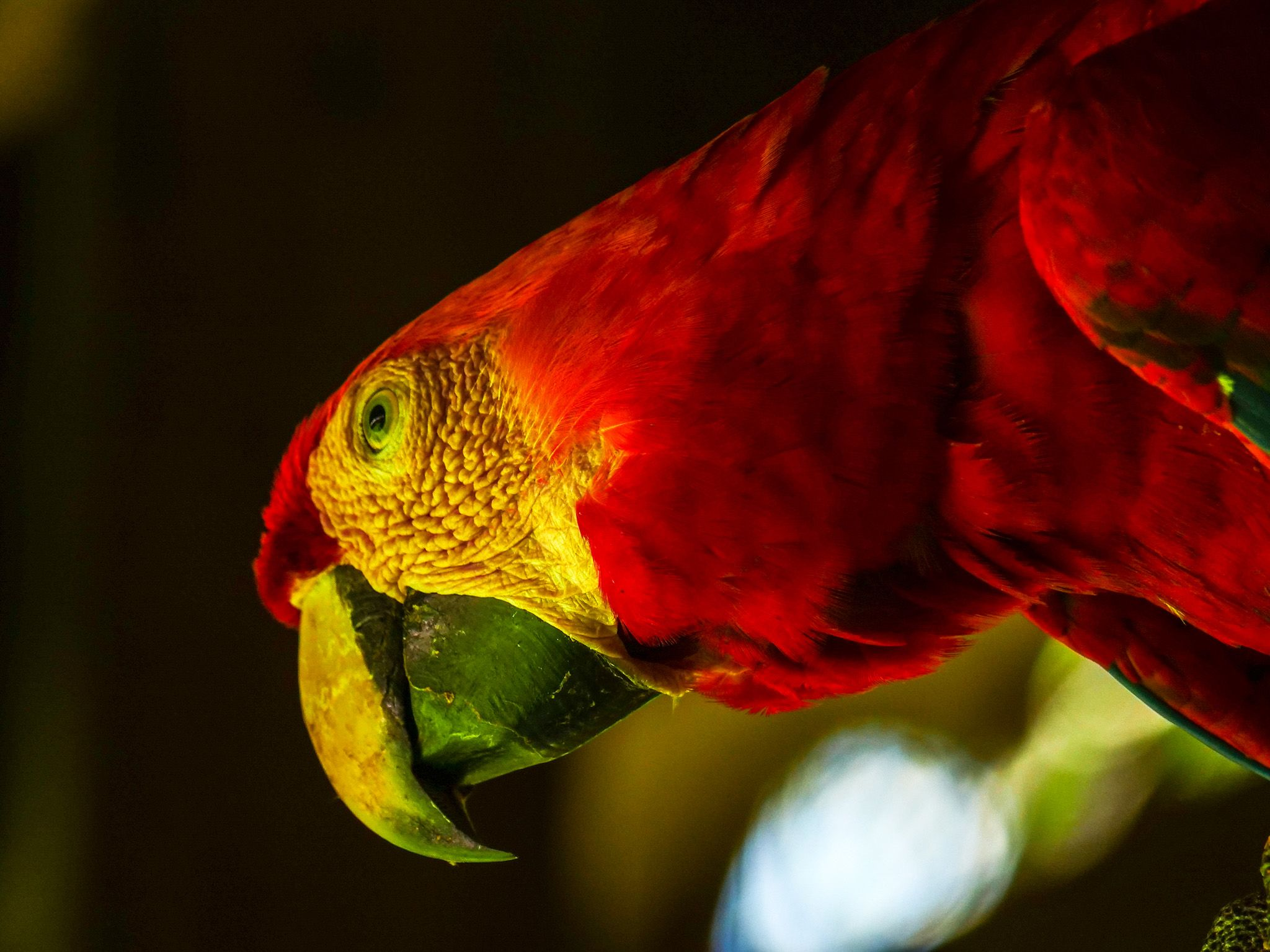 Tambopata, Madre De Dios, Peru:  A Red and Green Macaw. This image is from Wild Peru: Andes... [Foto del giorno - novembre 2018]