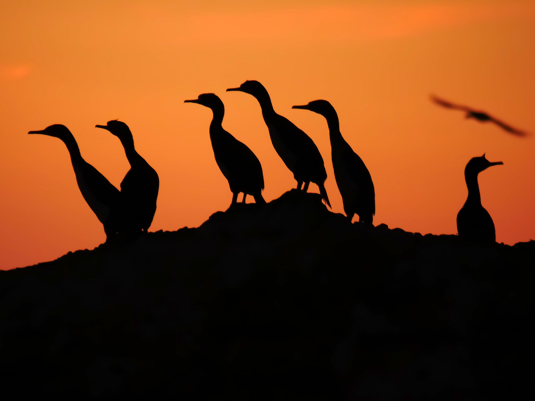 Punta San Juan, Peru:  Outline of Guanay Cormorants against a sunset skyline. This image is from... [Foto del giorno - November 2018]