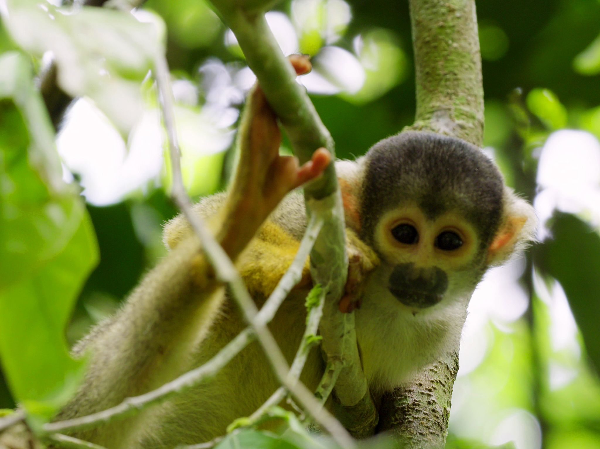 Tambopata, Research Centre, Peru: Squirrel Monkey in a tree. This image is from Wild Peru: Andes... [Photo of the day - December 2018]