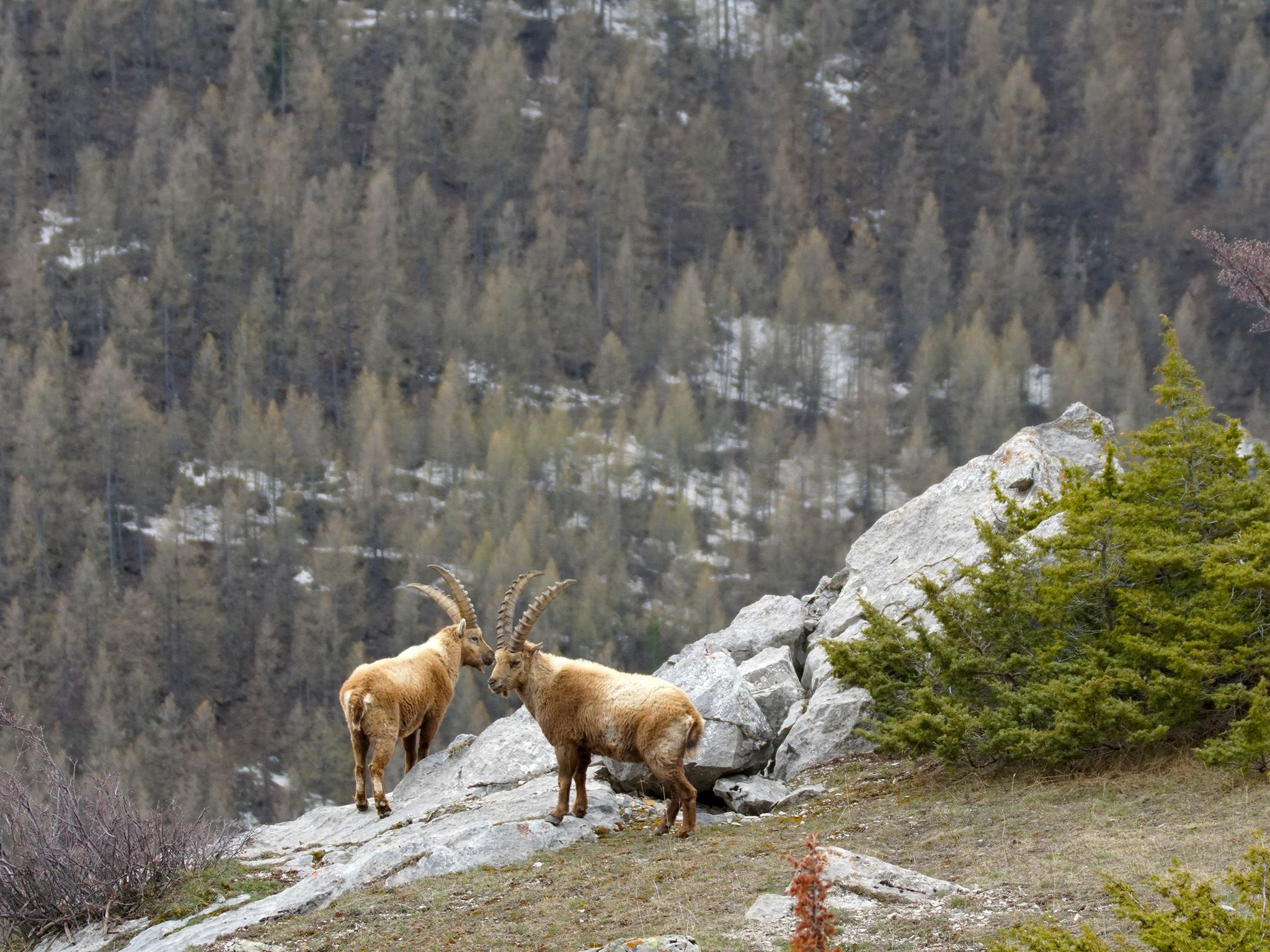 France:  Two ibex stand on a rocky hillside in the French Alps. This image is from Dr. Oakley:... [Foto del giorno - December 2018]