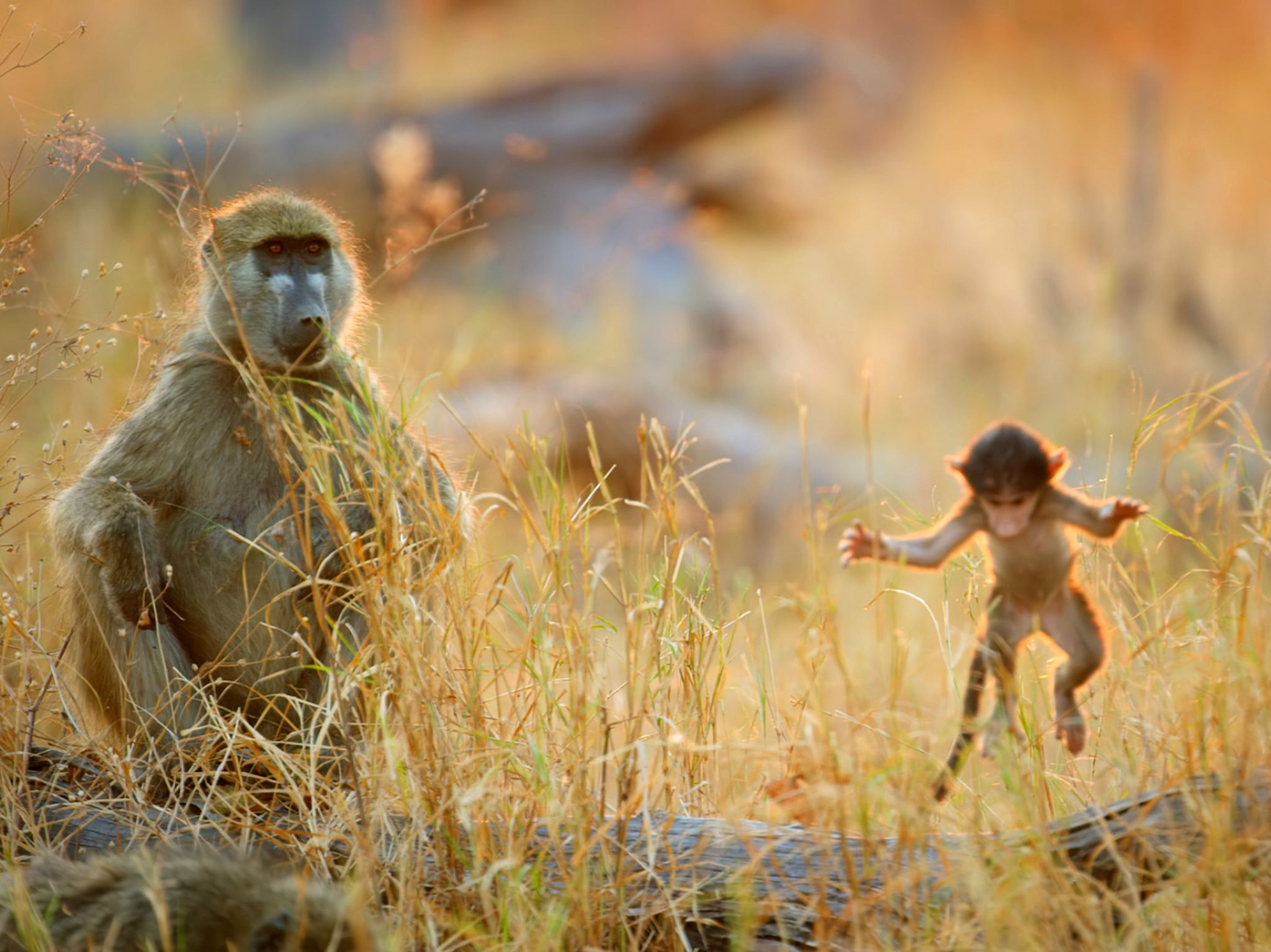 Botswana:  Baboon sitting on log with baby baboon jumping off.  This image is from Africa's Wild... [Photo of the day - December 2018]