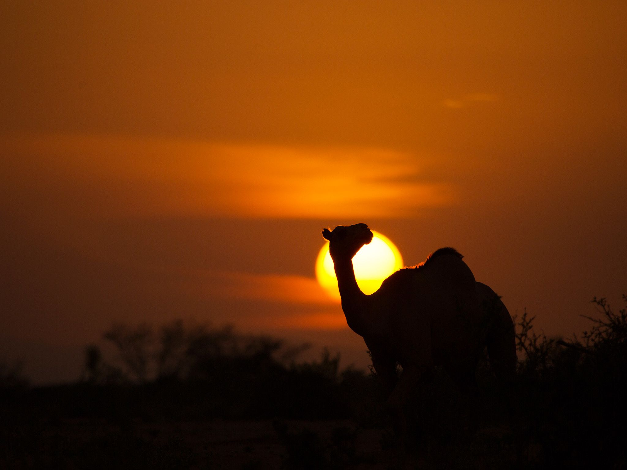 Kenya:  Sun setting behind a camel in the Kaisut Desert. This image is from Primal Survivor. [Photo of the day - December 2018]