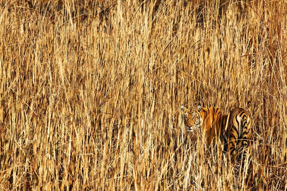 Kaziranga National Park, Assam, India: The ultimate camouflage - a tigress stalks through high... [Photo of the day - أبريل 2012]