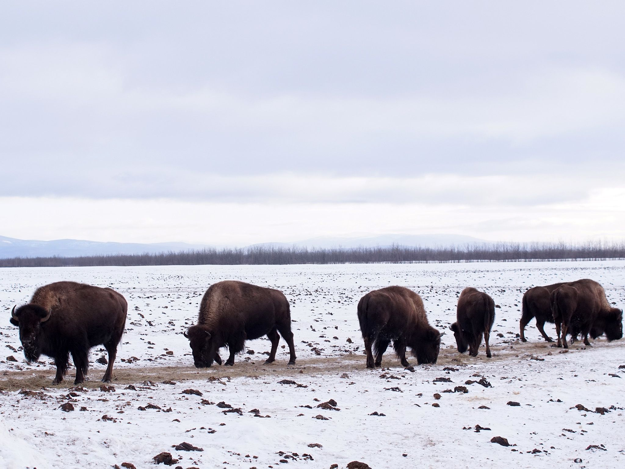 Delta Junction, AK:  Bison graze in the snowy field at Stevens Ranch.  This image is from Dr.... [Photo of the day - December 2018]