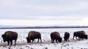 Delta Junction, AK:  Bison graze in... [Photo of the day - 14 DECEMBER 2018]
