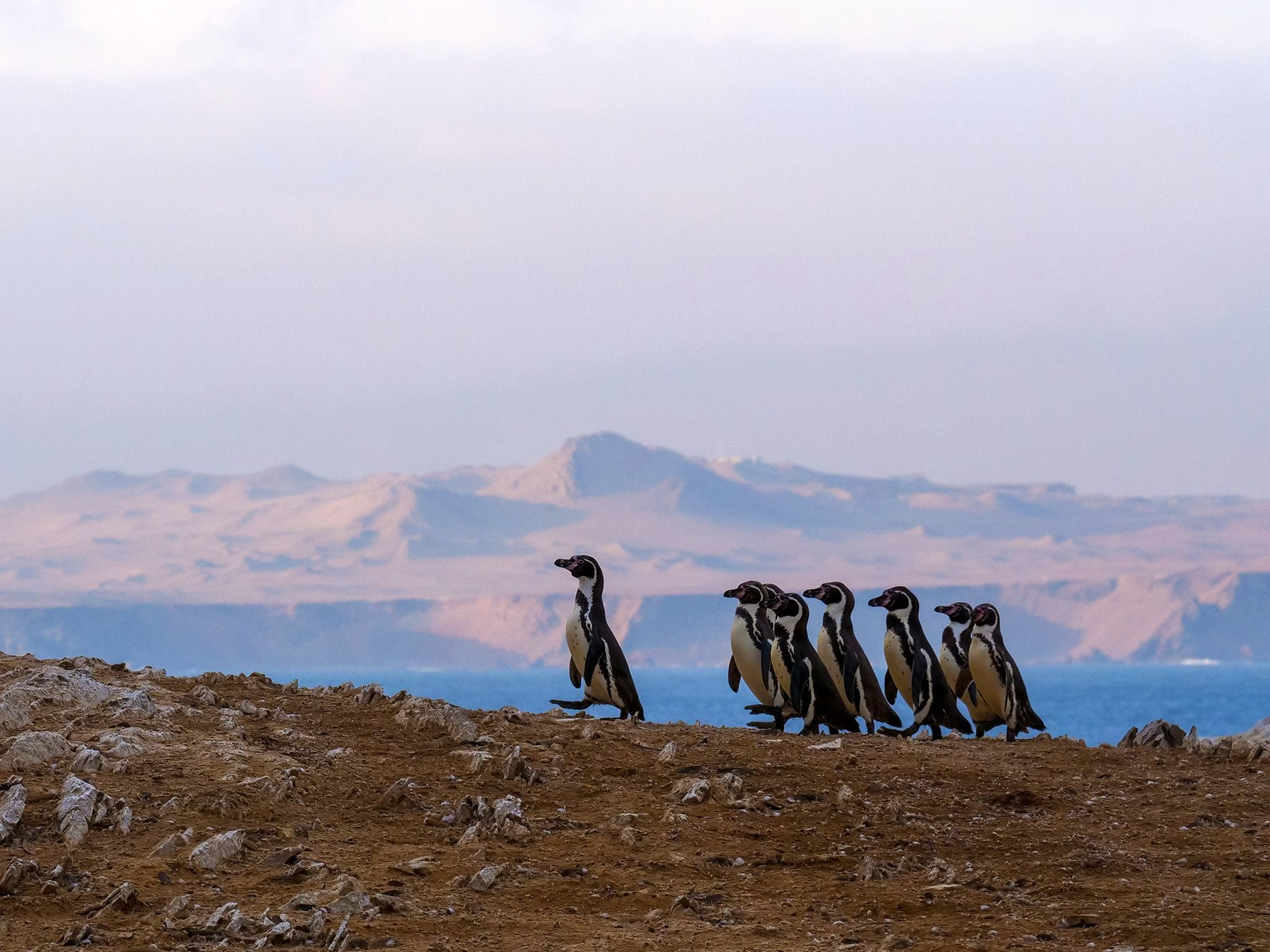 Punta San Juan, Peru:  Group of Humboldt penguins following leader across rocks. This image is... [Foto del giorno - dicembre 2018]