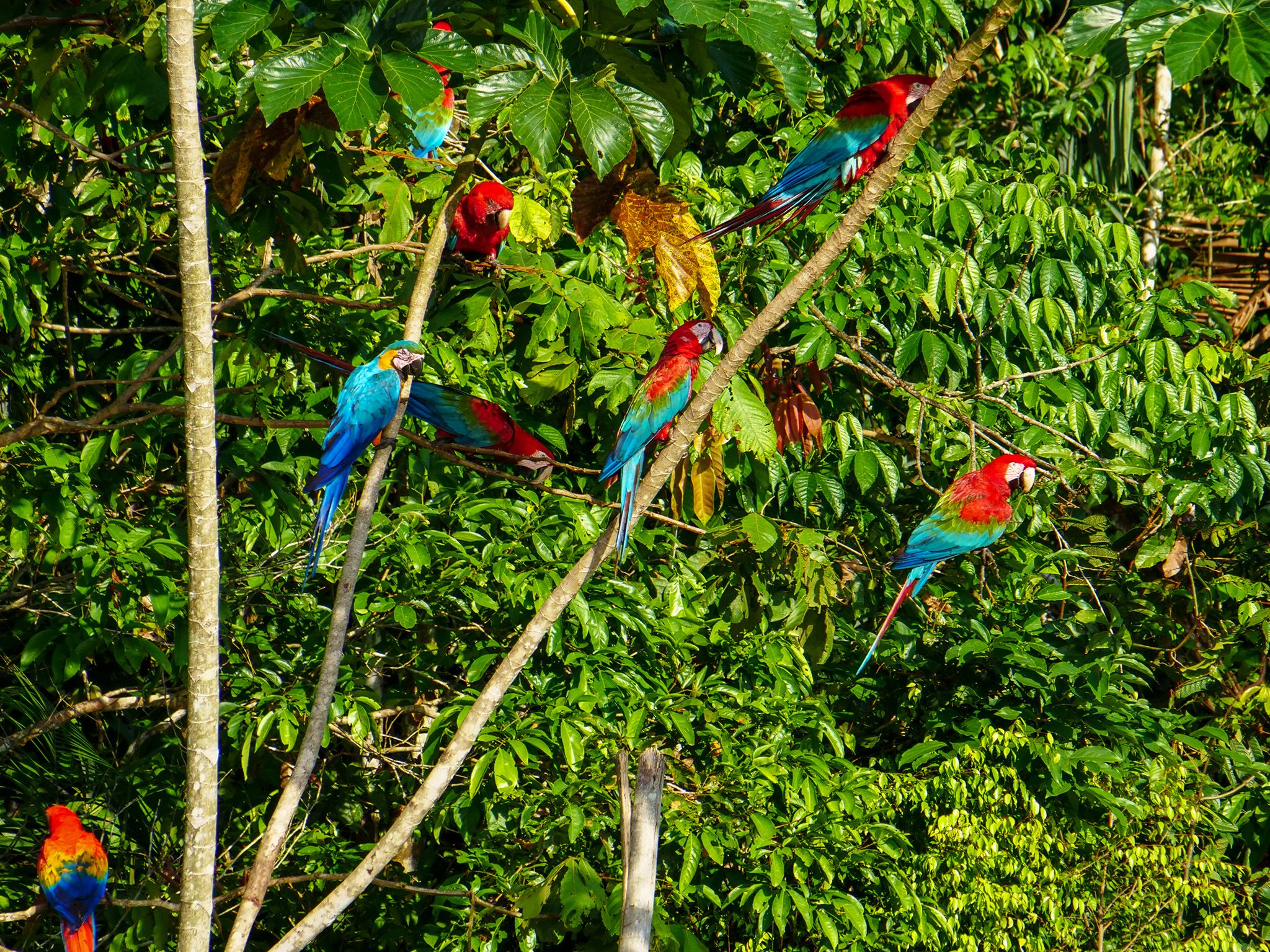 Tambopata, Madre De Dios, Peru:  Macaws at clay lick. This image is from Wild Peru: Andes... [Foto del giorno - December 2018]