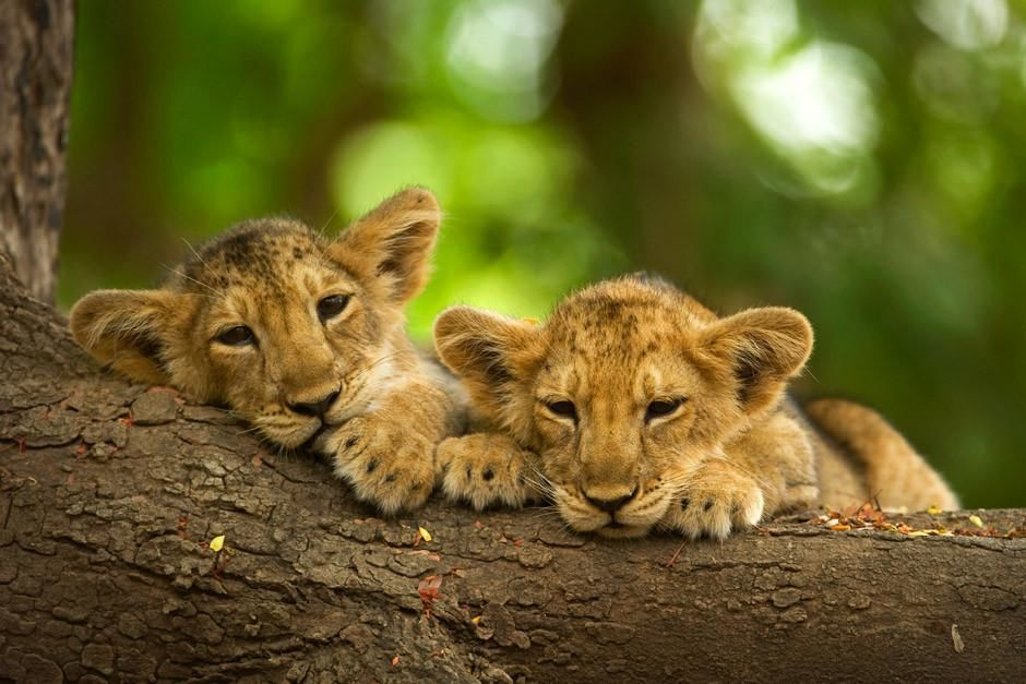 Two asiatic lion cubs lying on tree trunk in Gir National Park.  This image is from Secrets of... [Photo of the day - أبريل 2012]