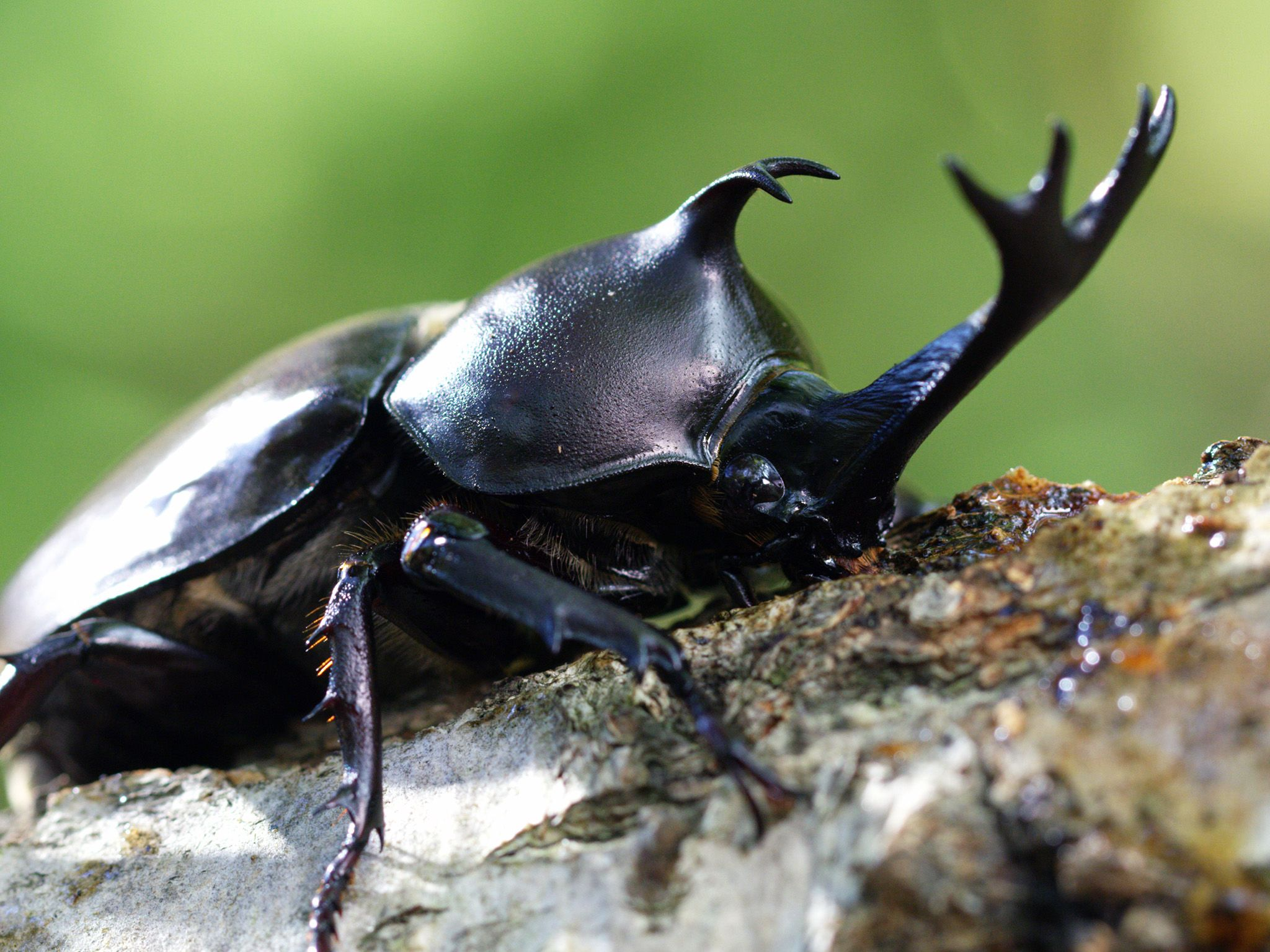 Korea:  Male Rhinoceros beetle. This image is from Wild Korea. [Photo of the day - January 2019]
