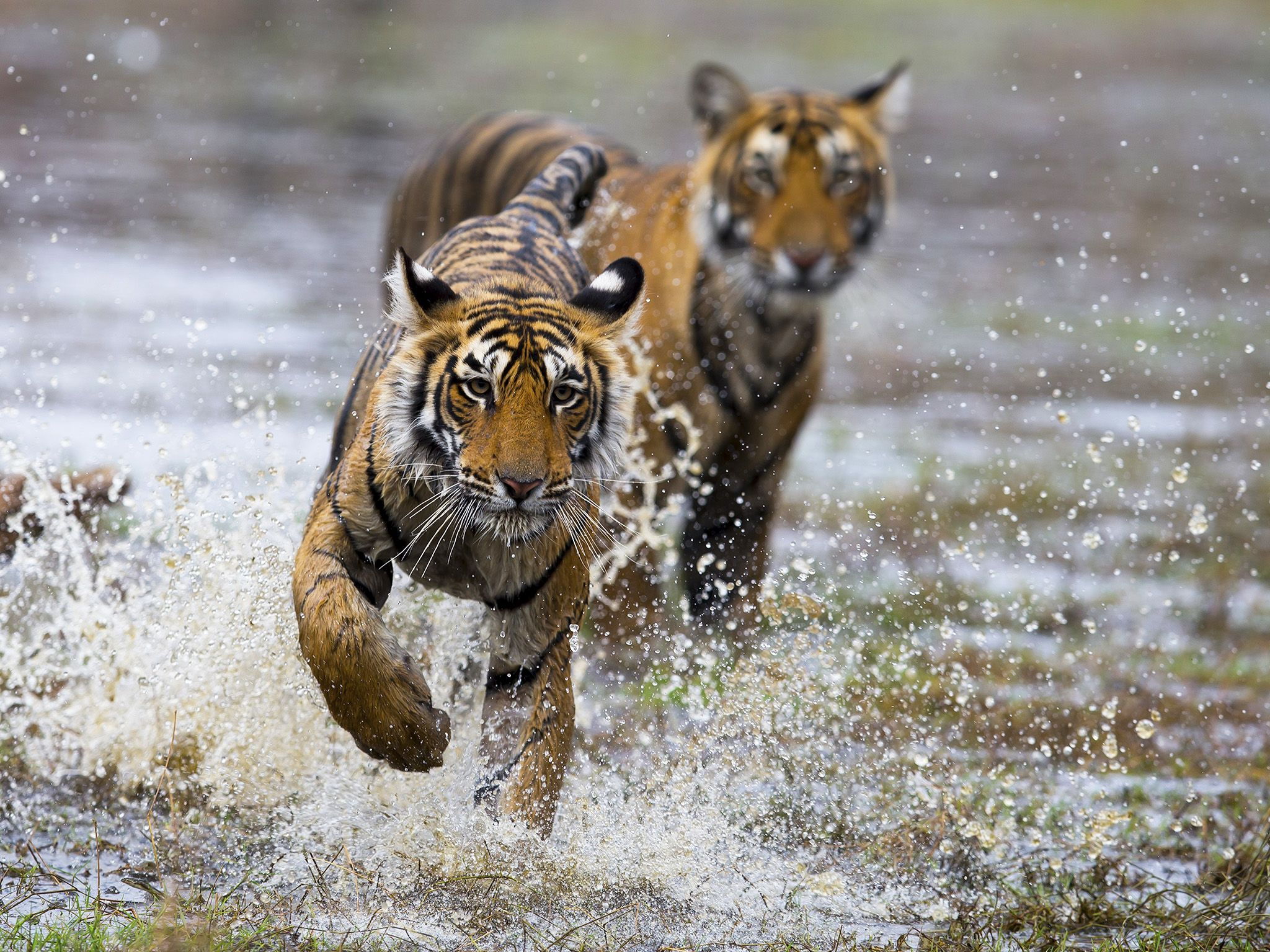 Sawai Madhopur, Rajasthan, India:  Teera races through the shallow water of the lake while Bhola... [Photo of the day - January 2019]