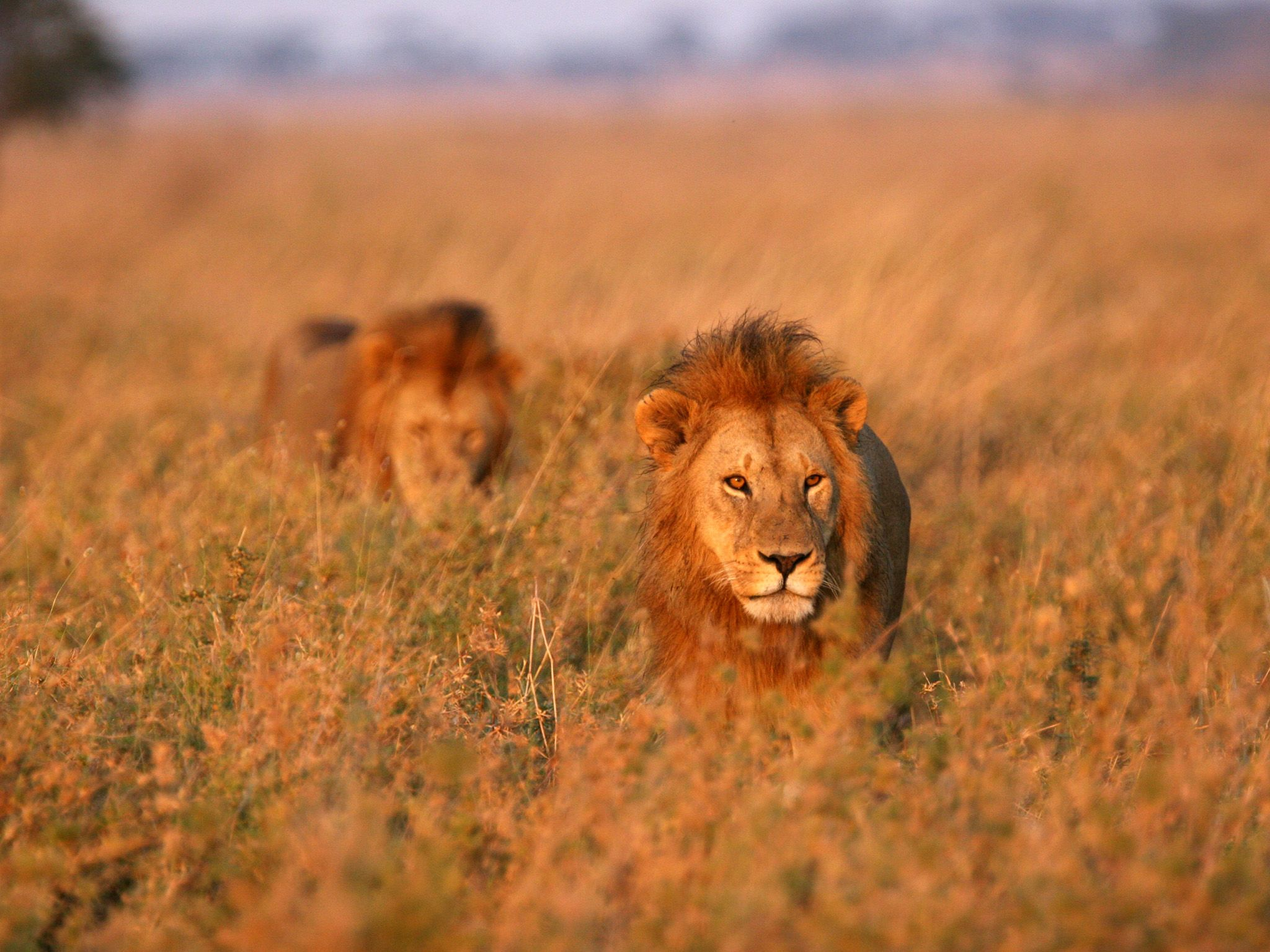 Two big male lions walk in tall grass. This image is from Regime of The Queen. [Photo of the day - January 2019]