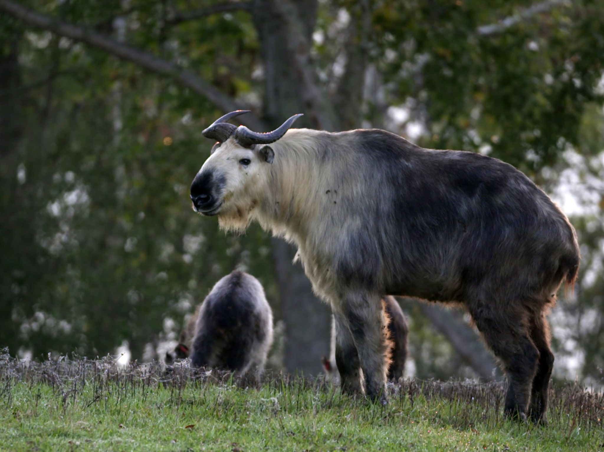 Columbus, OH:  Sichuan takin, a rare species from the Himalayas, found at The Wilds.  This image... [Photo of the day - February 2019]