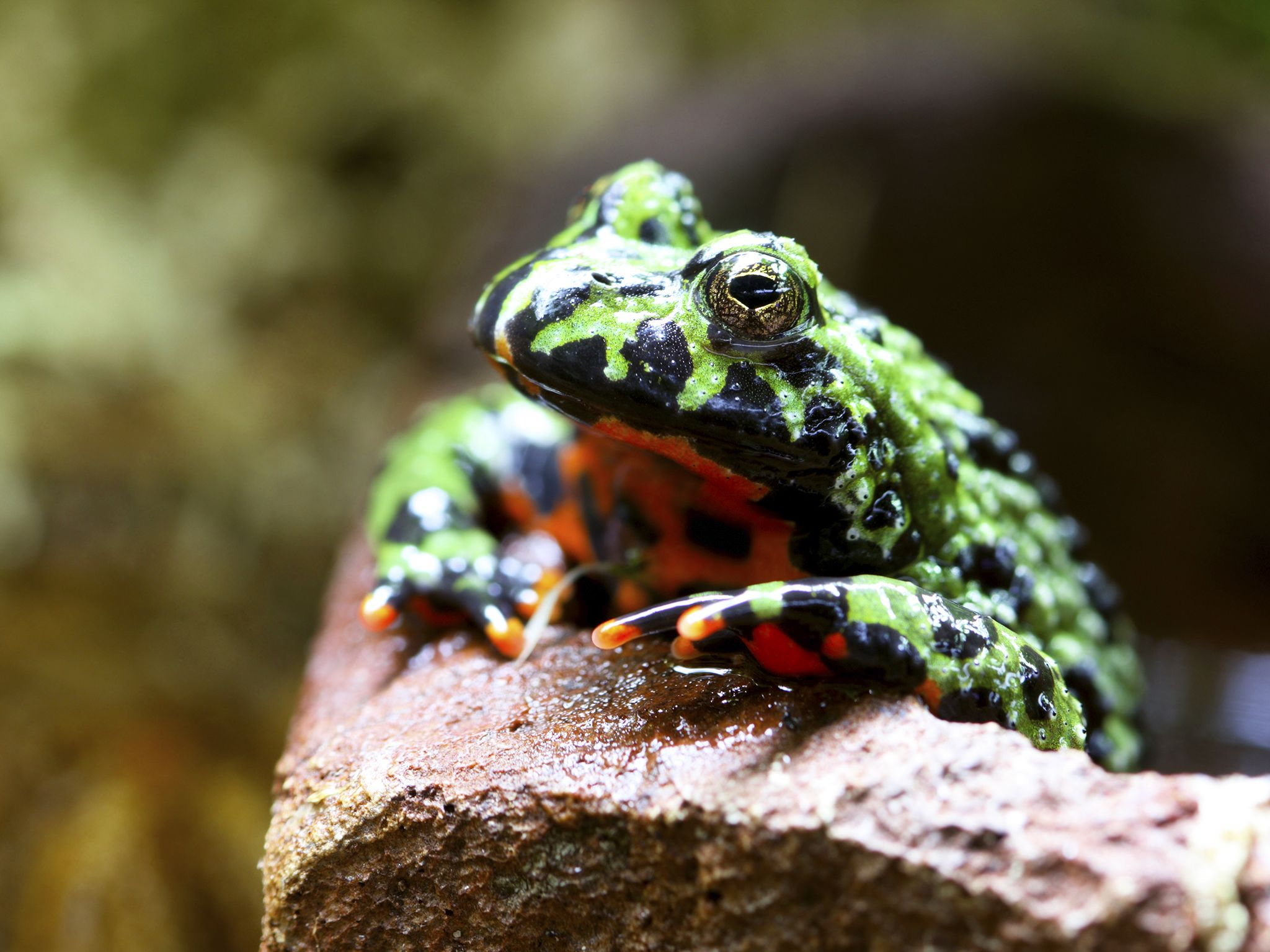 Thrace mountains, Turkey: Fire bellied toad (Bombina sp.). This image is from Ultimate Animal... [Photo of the day - February 2019]