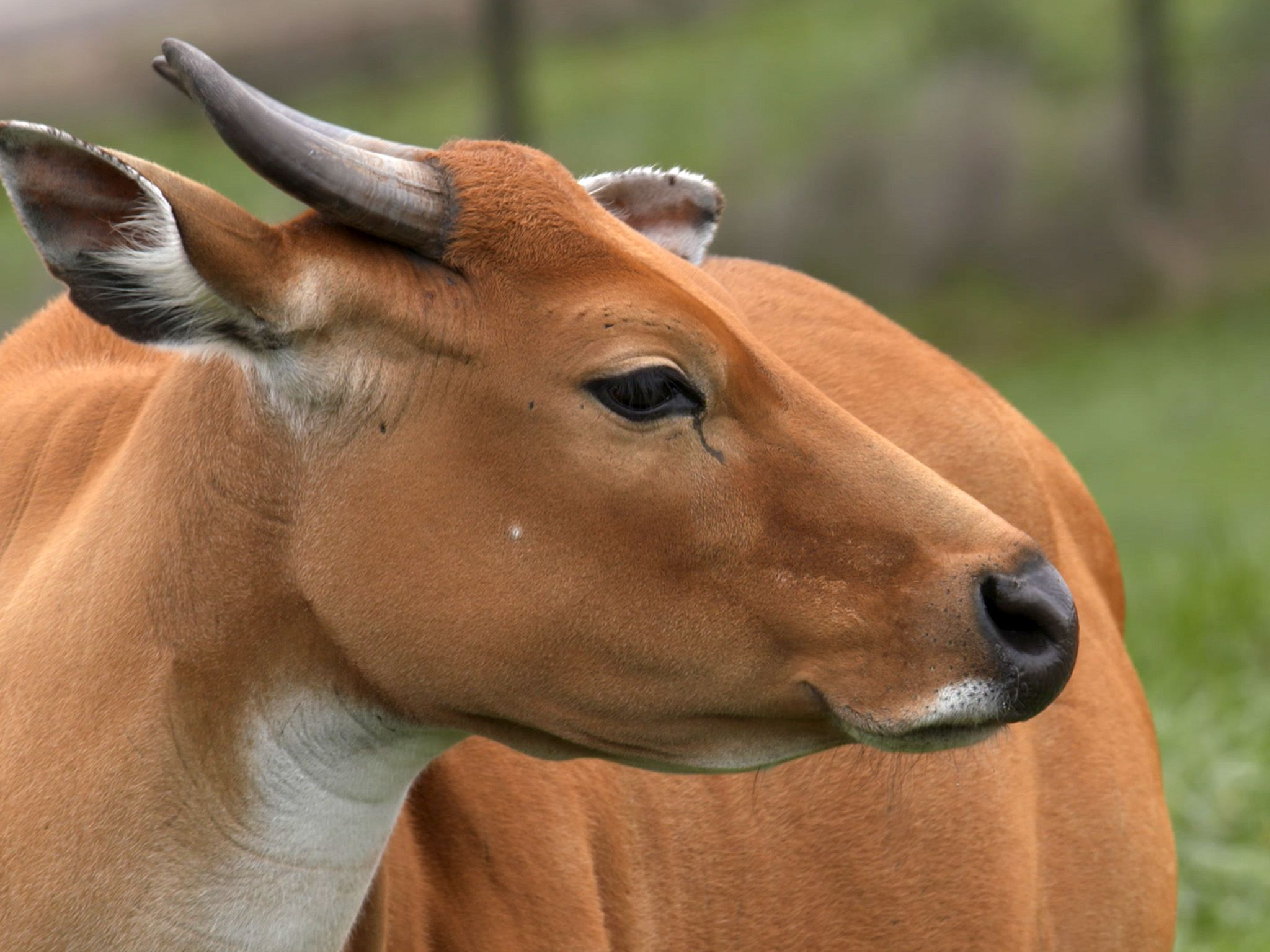 Columbus, OH:  A banteng at The Wilds, making its way to the winter barn.  This image is from... [Photo of the day - February 2019]