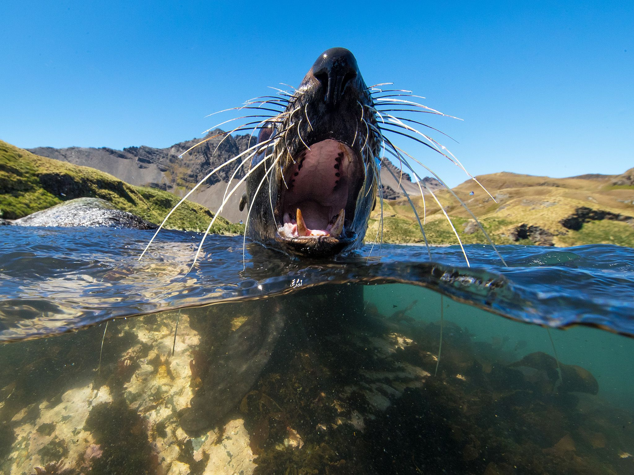 Poa Cove, South Georgia Island:  An Antarctic Fur Seal swims and barks. This image is from Wild... [Photo of the day - February 2019]