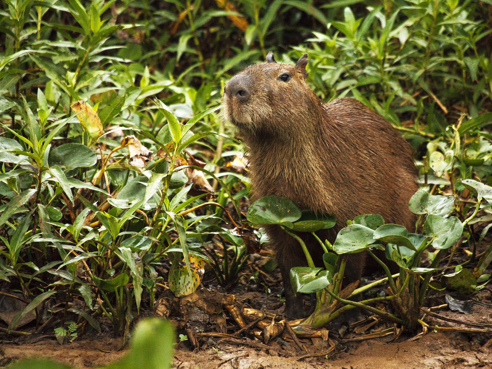 Capybaras, large rodents weighing up to 60 kilograms, are a perfect meal for jaguars. This image... [Photo of the day - February 2019]