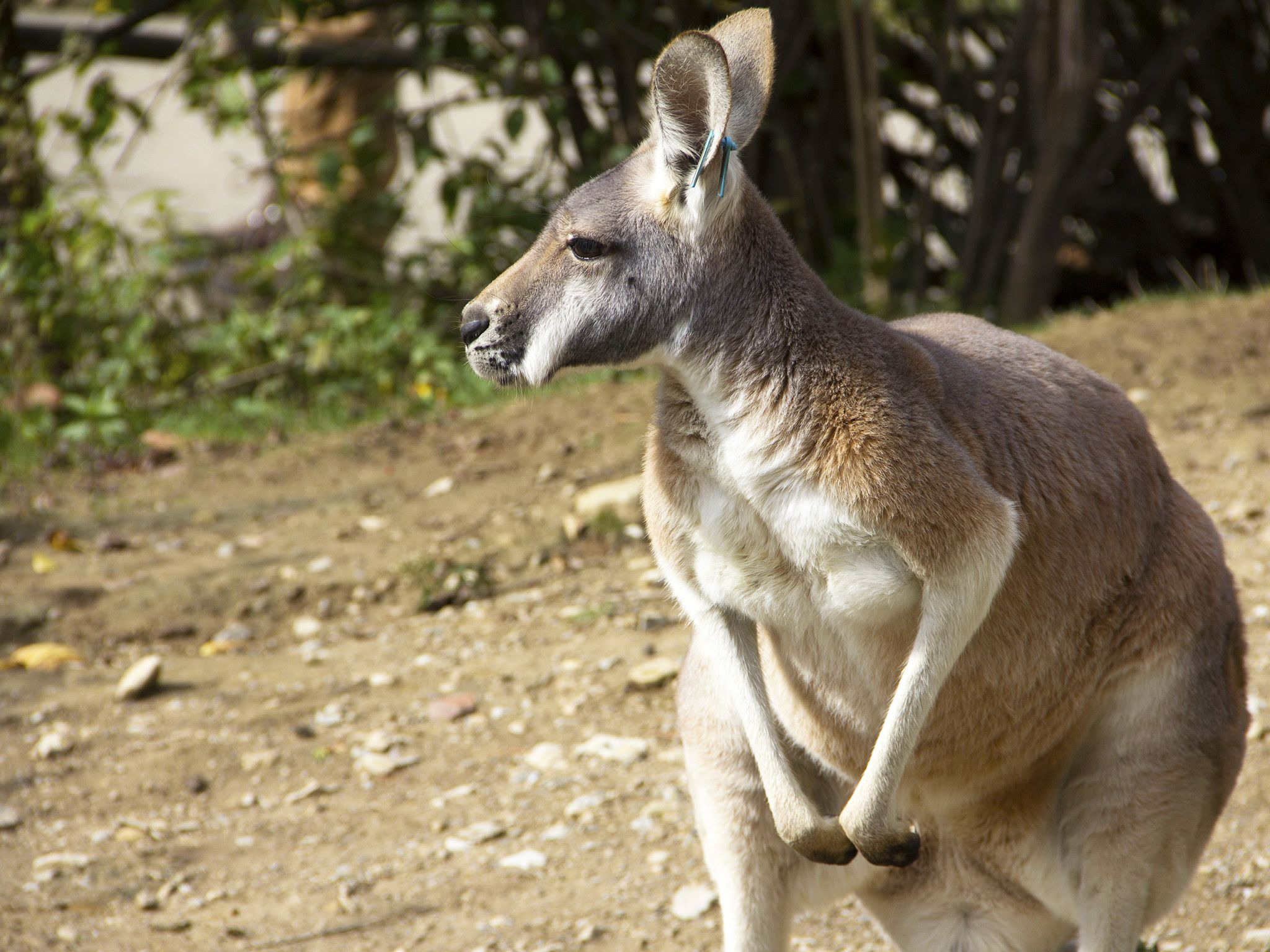 Powell, Ohio:  Kangaroo soaking up the sun at the Australian exhibit.  This image is from... [Photo of the day - February 2019]