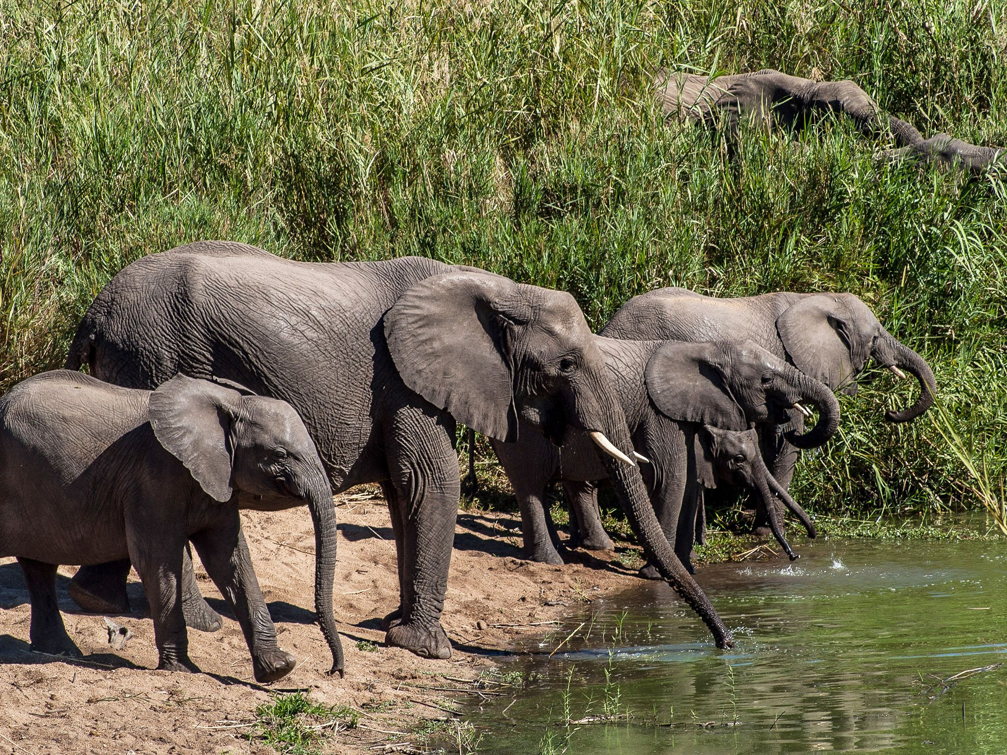 MalaMala Game Reserve, Mpumalanga, South Africa:  Herd of elephants drinking water.  This image... [Photo of the day - February 2019]