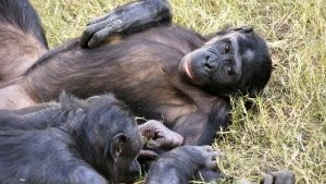Kokolopori  Bonobo Reserve, DRC:... [Photo of the day - 14 二月 2019]