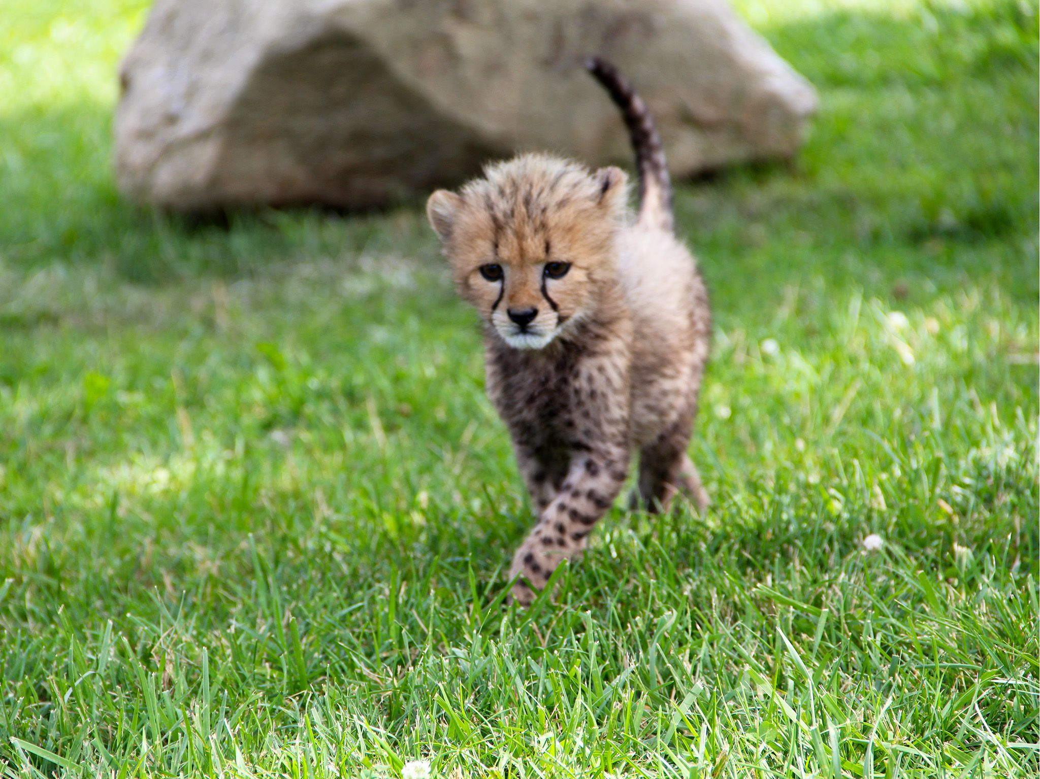 Powell, OH:  First time in the yard for the cheetah cubs at the Columbus Zoo.  This image is... [Photo of the day - February 2019]