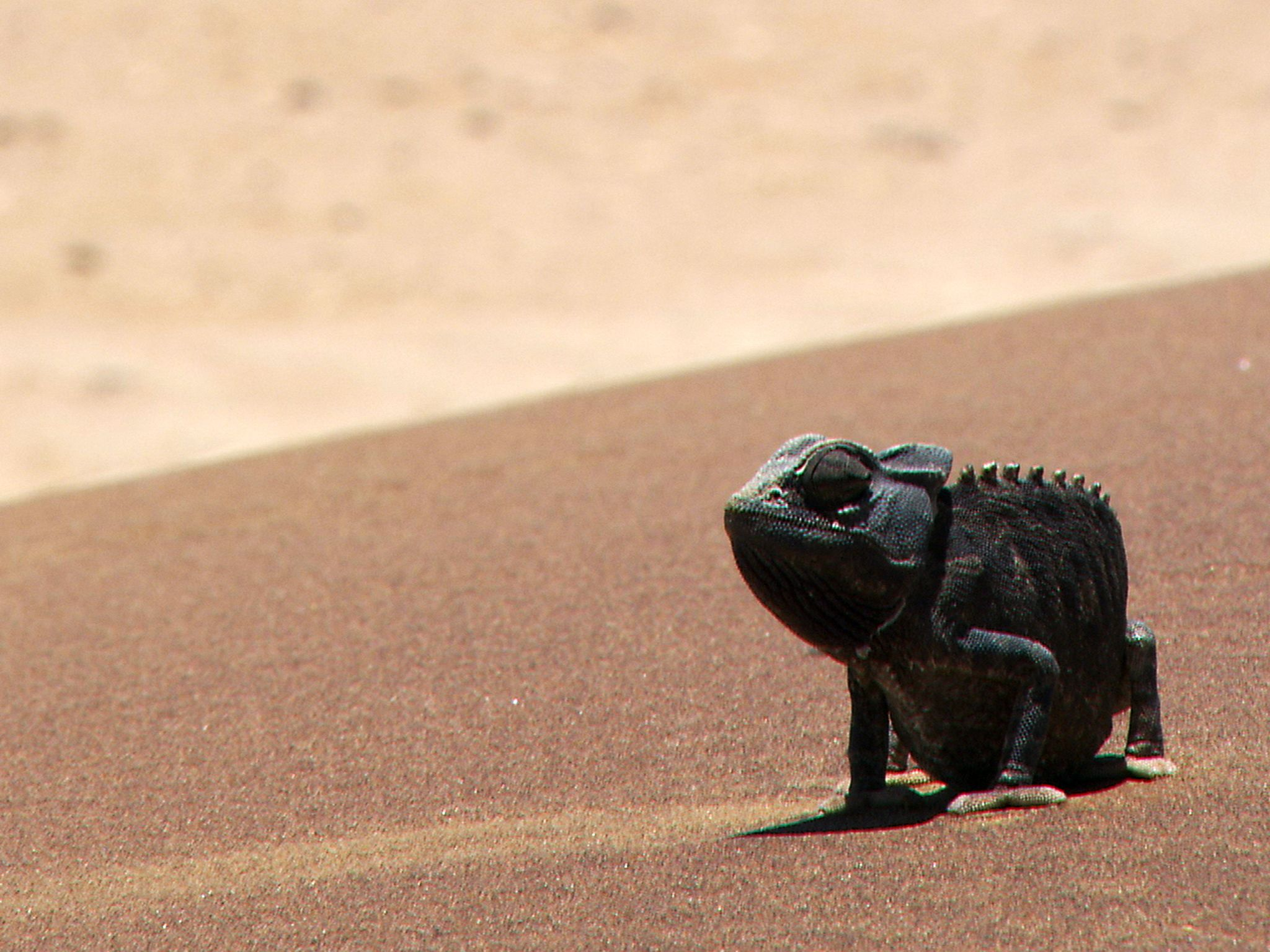 Namib desert, Namibia:  Namaqua Chameleon on desert sand dune.  This image is from Africa's... [Photo of the day - February 2019]