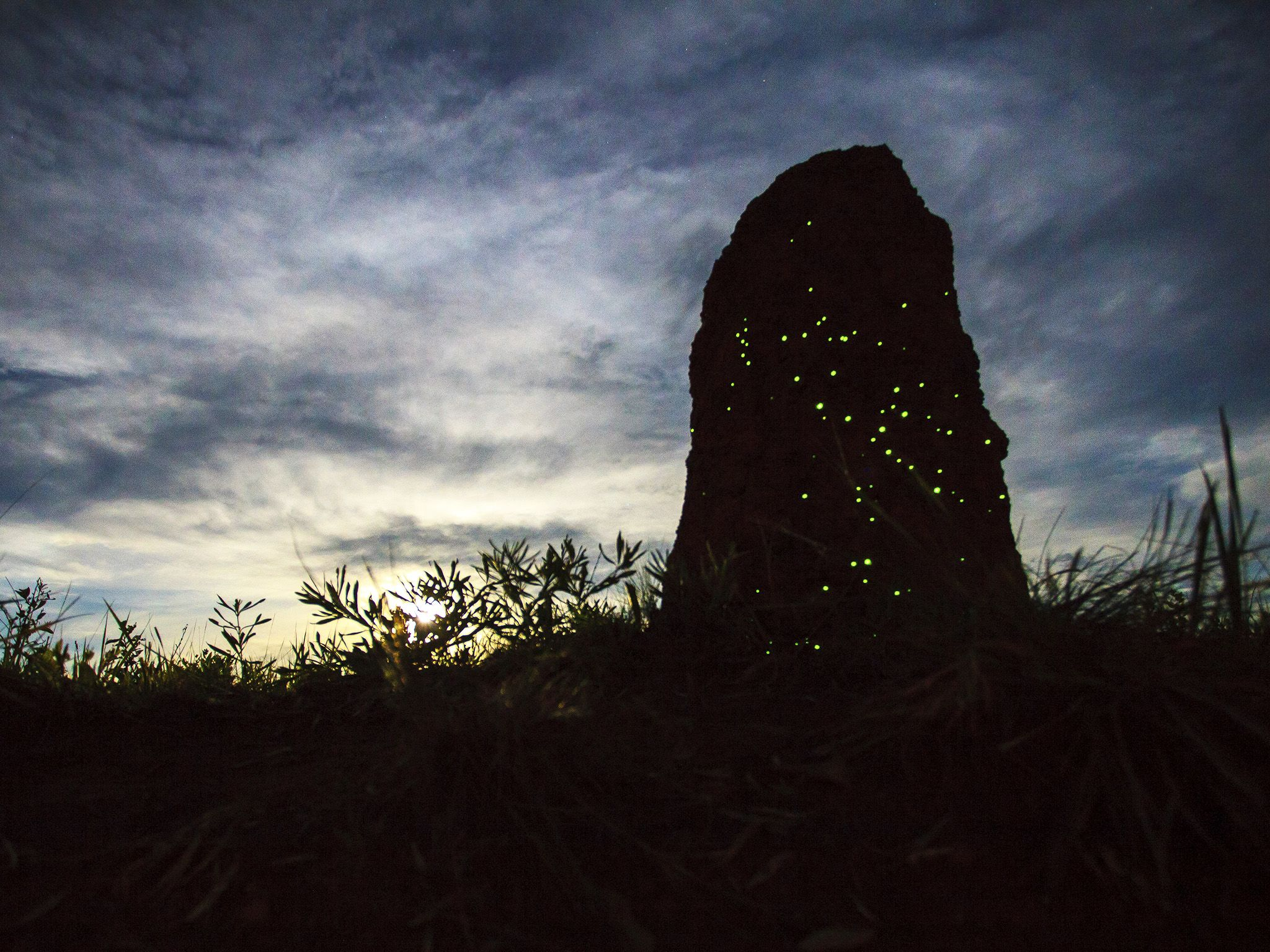 During nights, termite mounds may be the perfect place to watch a glowing spectacle: when young... [Photo of the day - February 2019]
