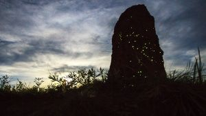 During nights, termite mounds may be... [Photo of the day - 20 二月 2019]