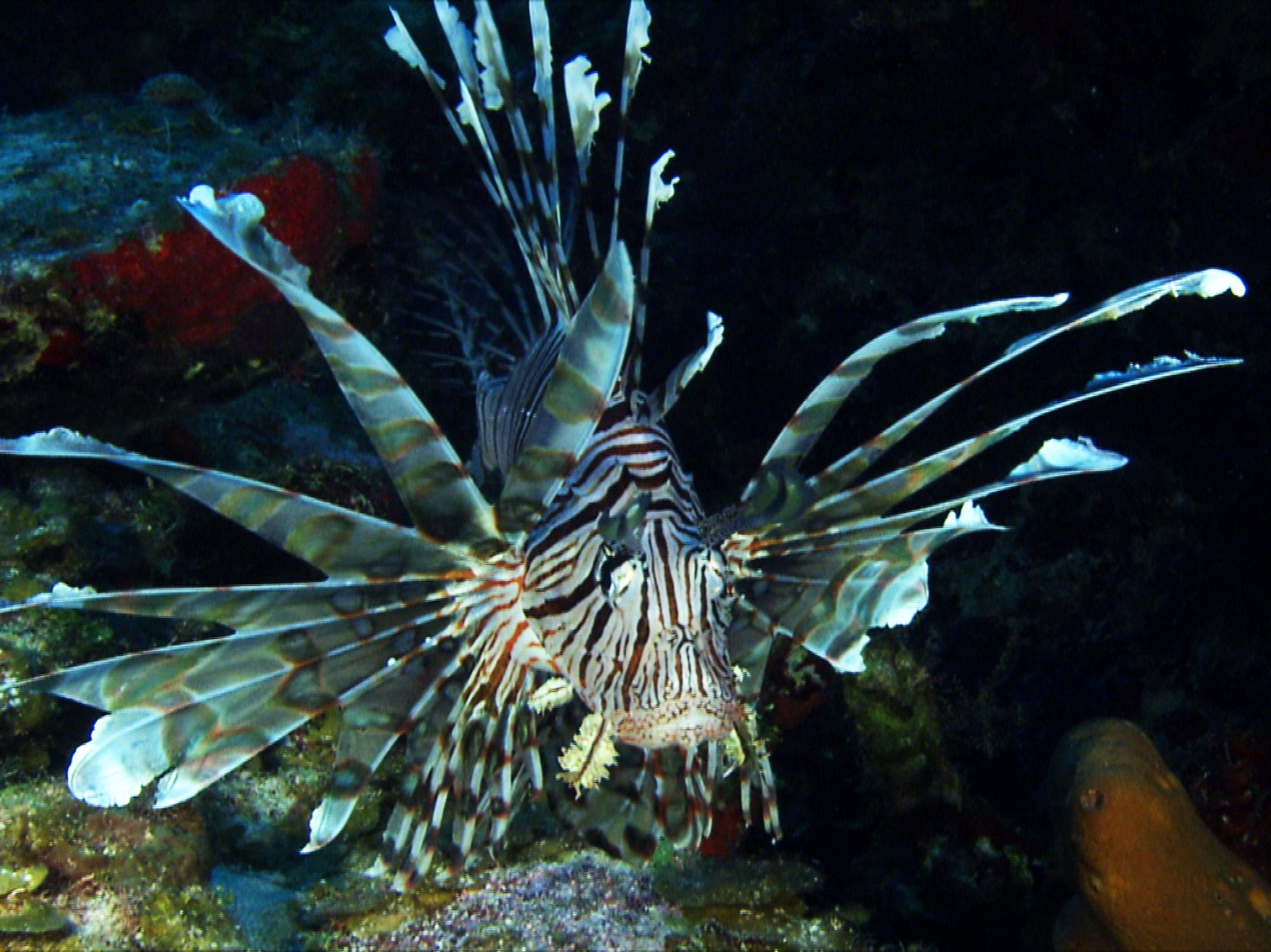 Ponta do Ouro, Mozambique, Africa:  Lionfish swimming along reef.  This image is from Africa's... [Photo of the day - February 2019]