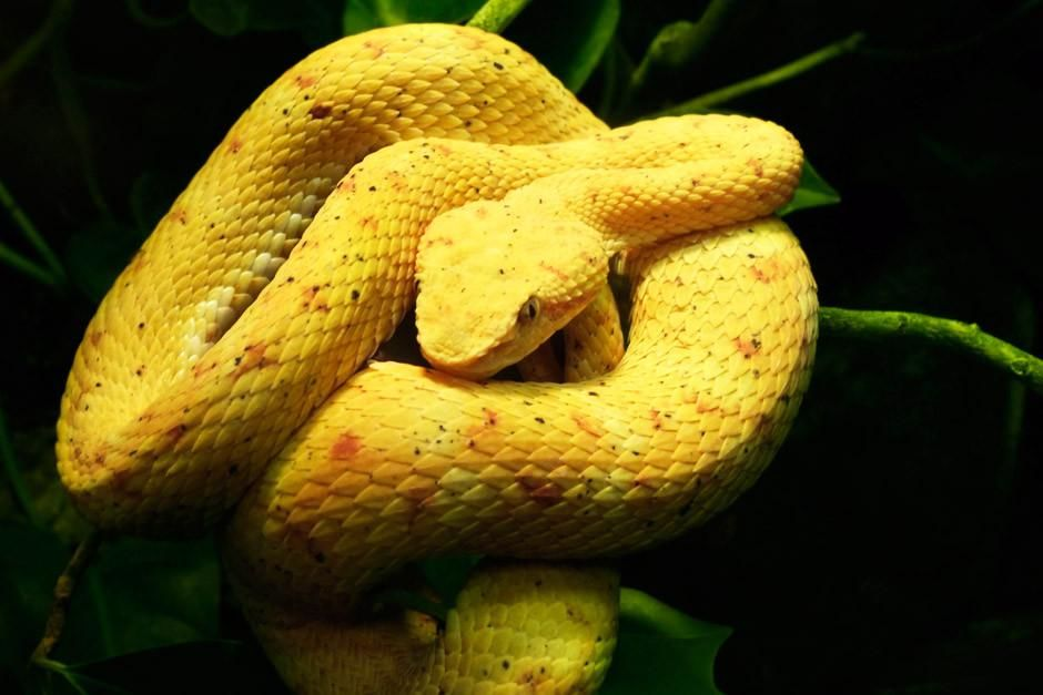 An Eyelash Palm Pit Viper rests on some jungle vines, coiled and possibly ready to strike. This... [Photo of the day - أبريل 2012]