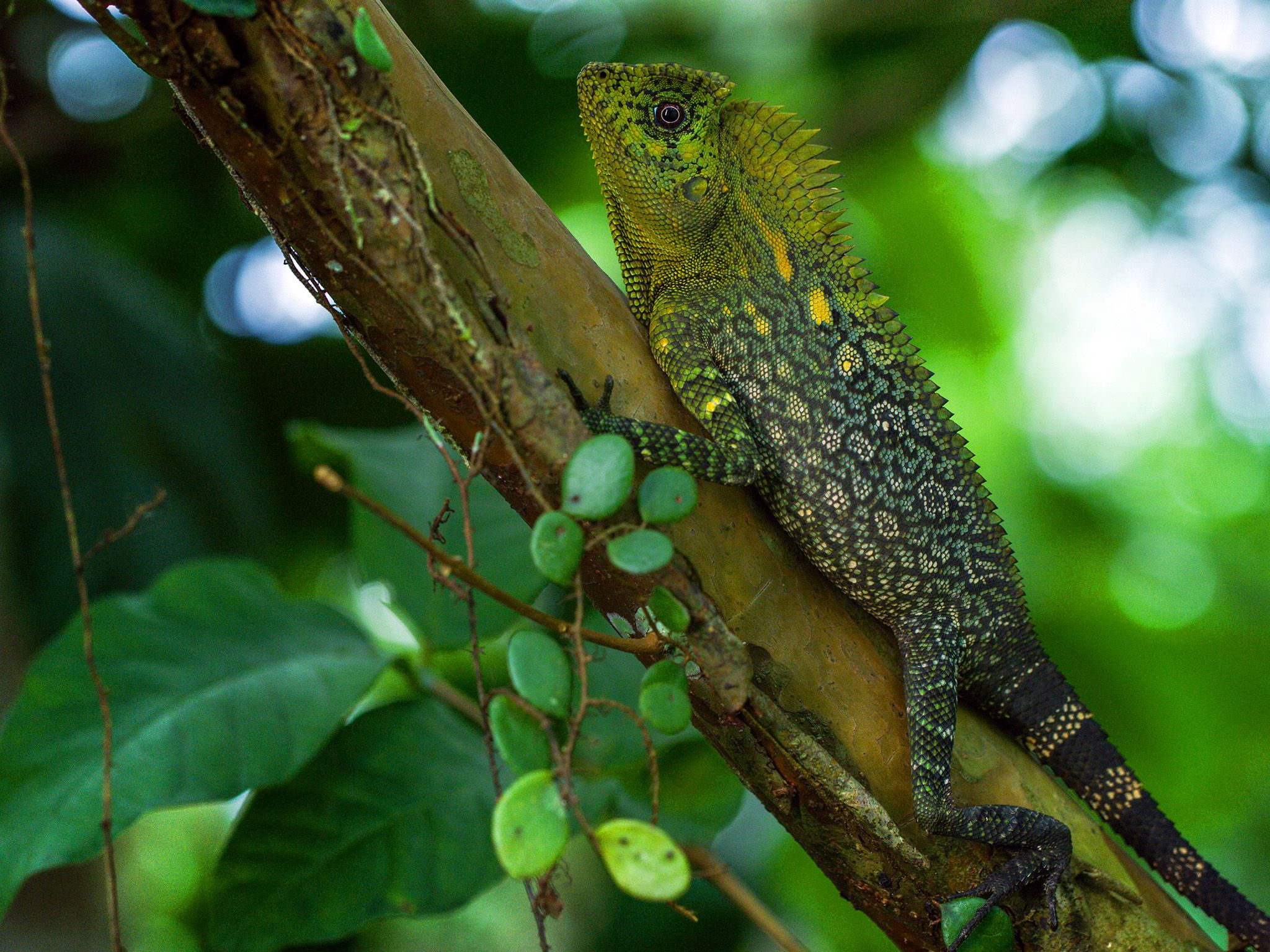 Java, Indonesia:  Lizard on log. This image is from Dead by Dawn. [Foto del giorno - March 2019]