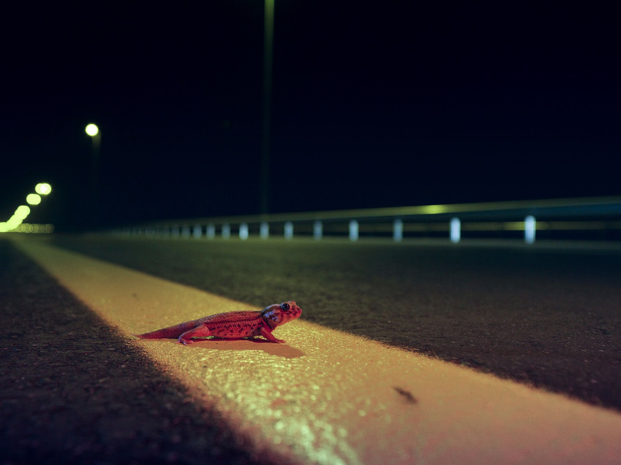 United Arab Emirates:  Wonder gecko standing next to a road.  This image is from Dead by Dawn. [Photo of the day - March 2019]