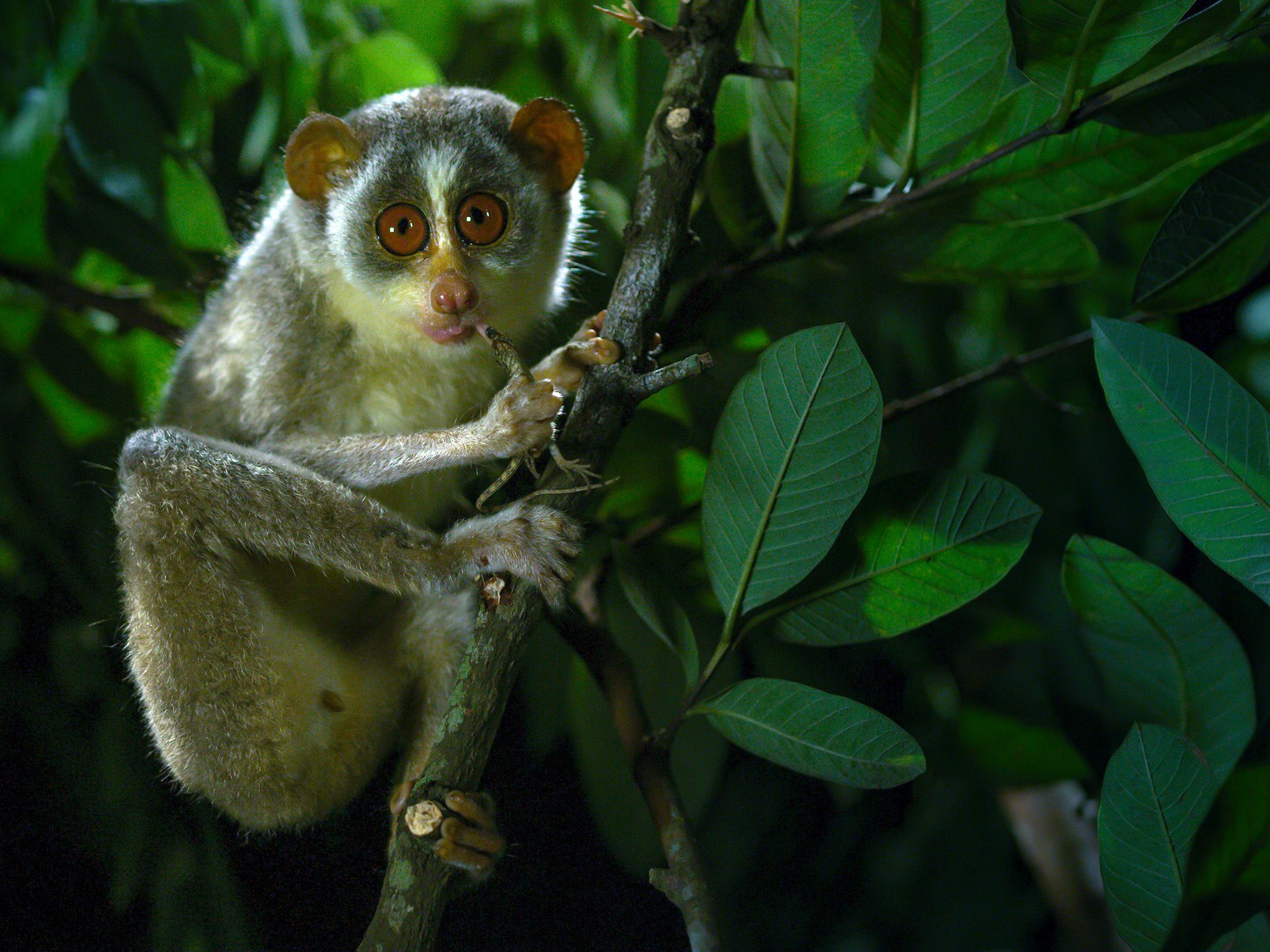 India:  Slender Loris.  This image is from Dead by Dawn. [Foto del giorno - March 2019]