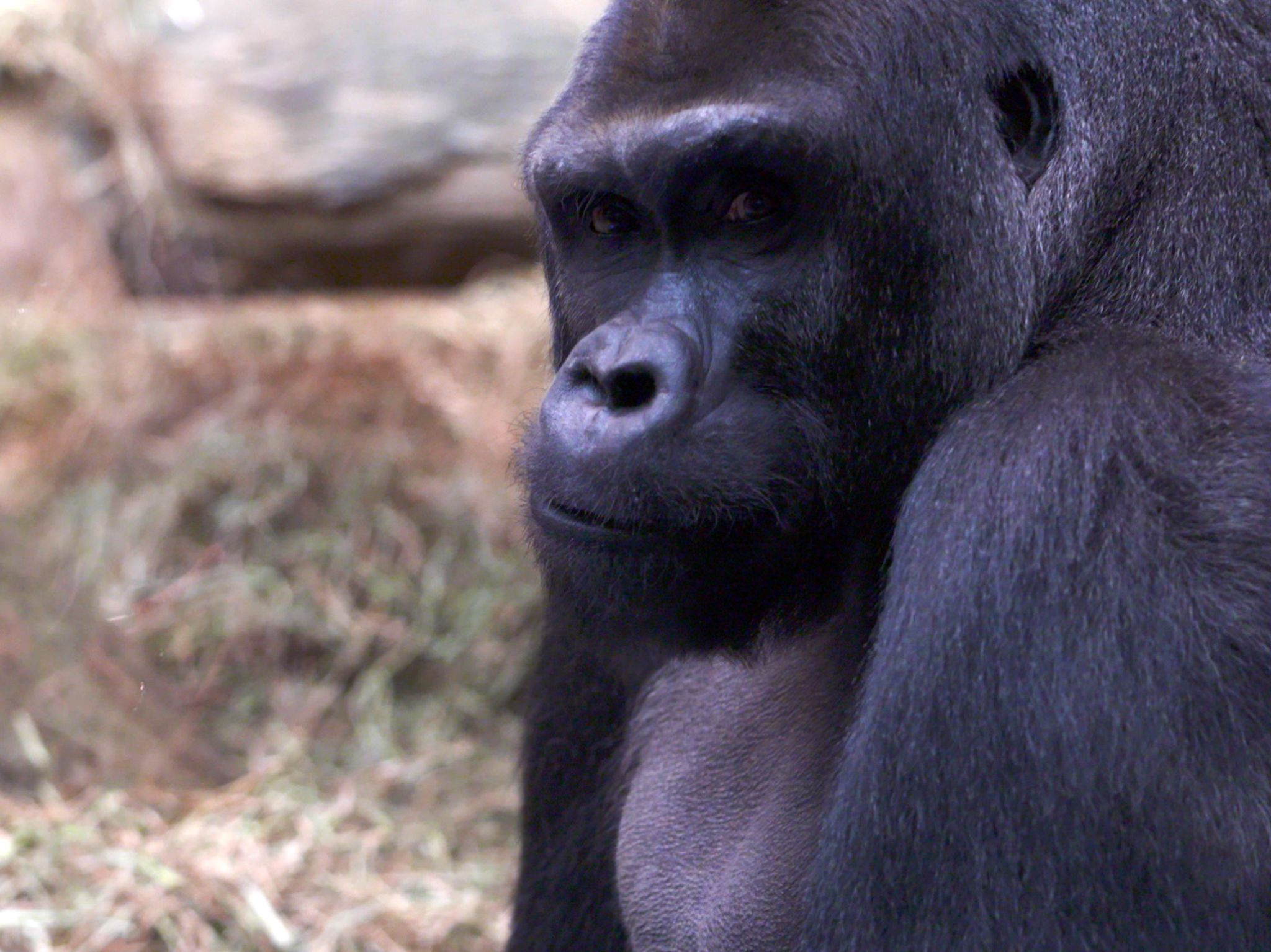 Columbus, OH:  Mac the gorilla enjoying his 34th birthday celebration.  This image is from... [Photo of the day - March 2019]