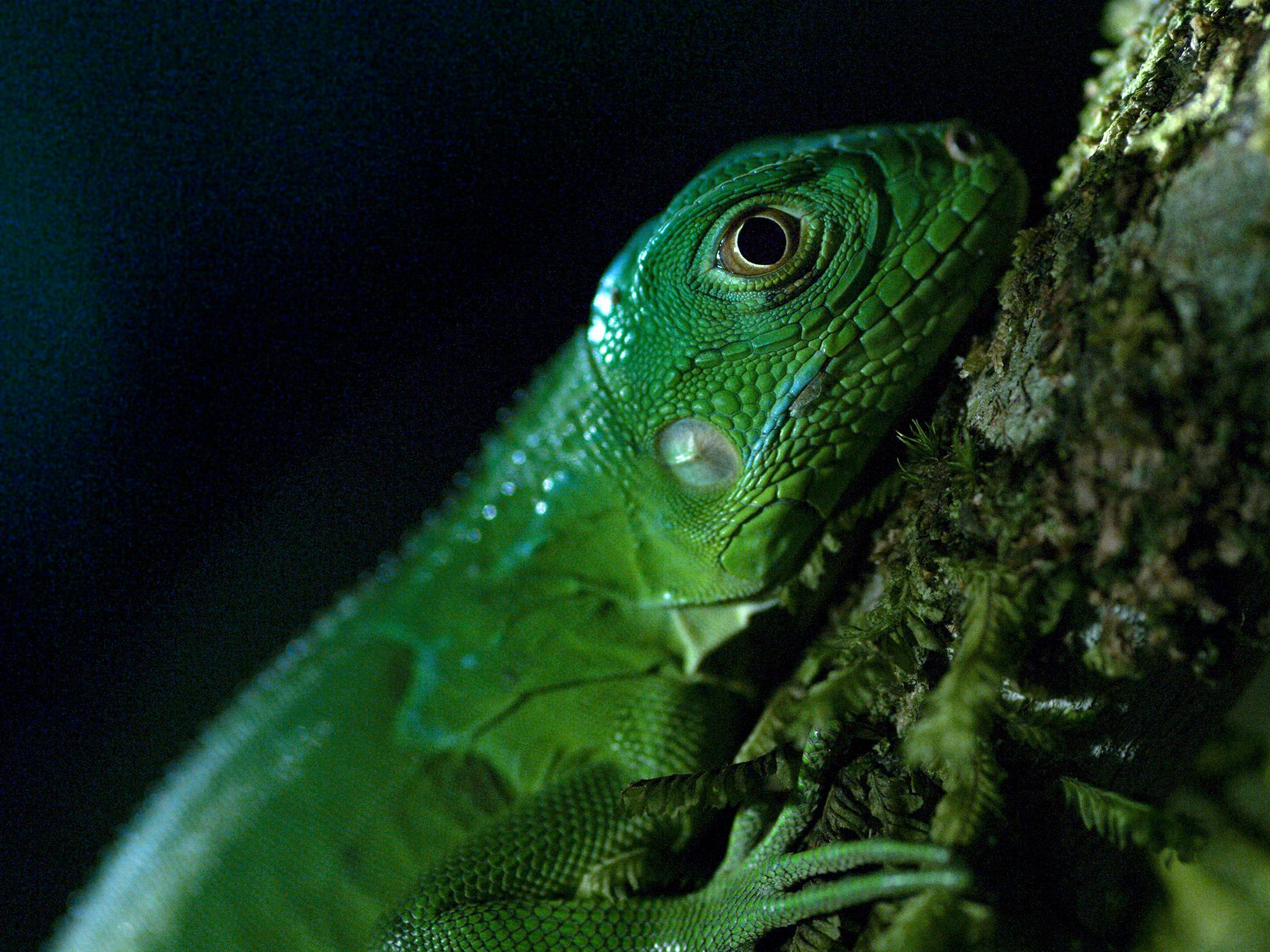 Costa Rica:  An iguana. This image is from Dead by Dawn. [Photo of the day - March 2019]