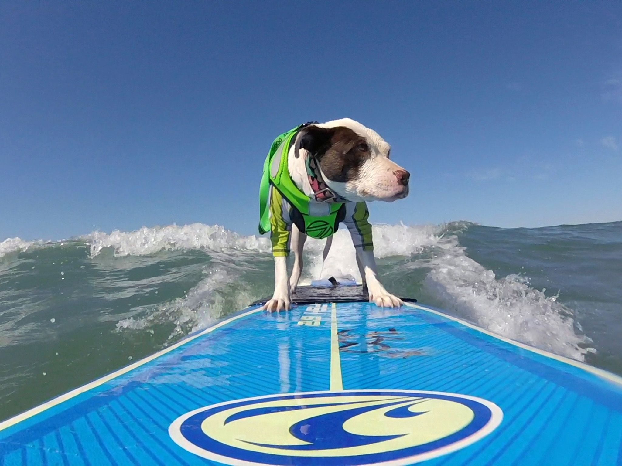 San Diego, CA:  Faith the Surfing Pit Bull rides the waves.  This image is from Pupparazzi. [Photo of the day - March 2019]